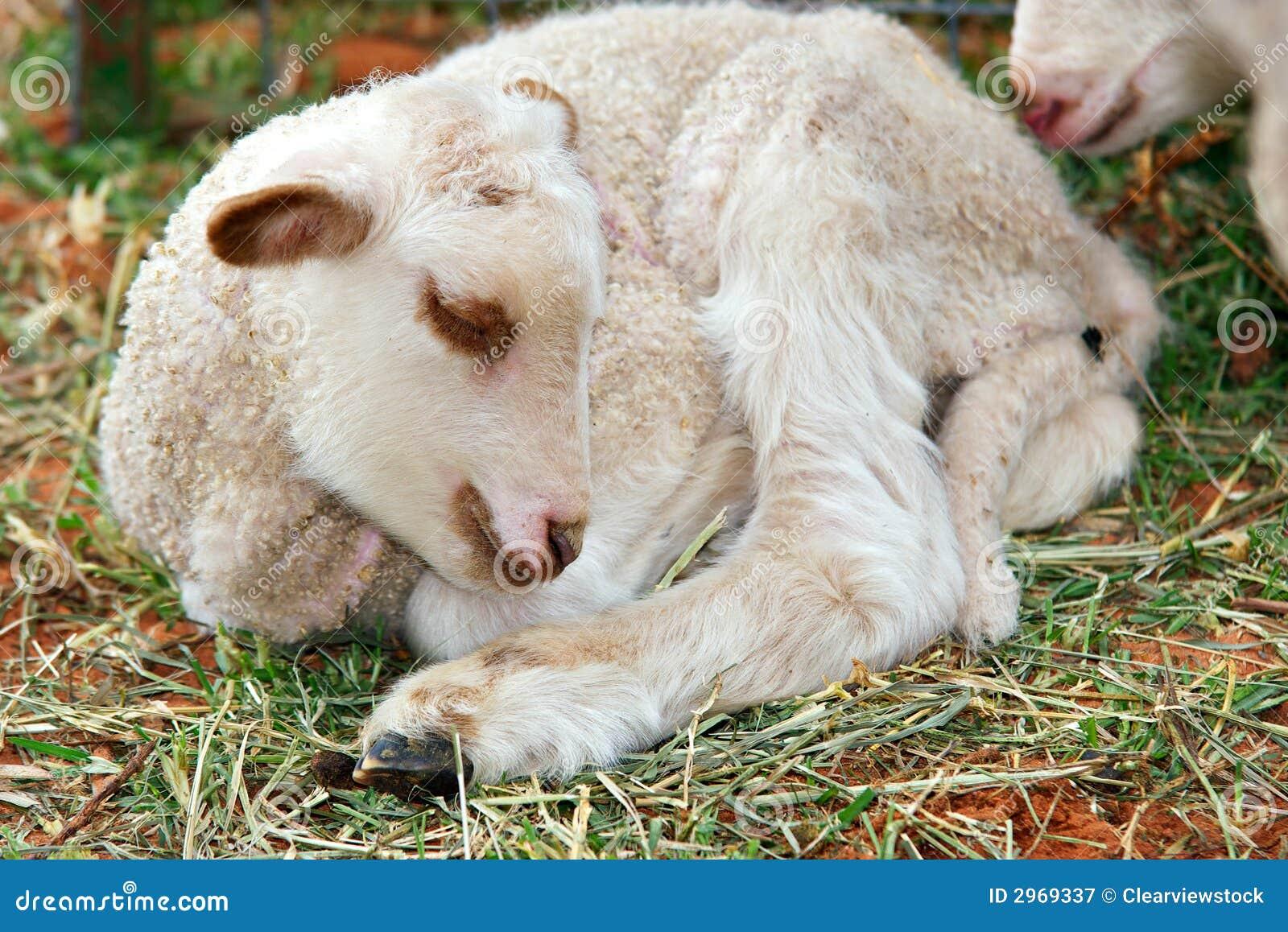 Little Cute Baby Lamb