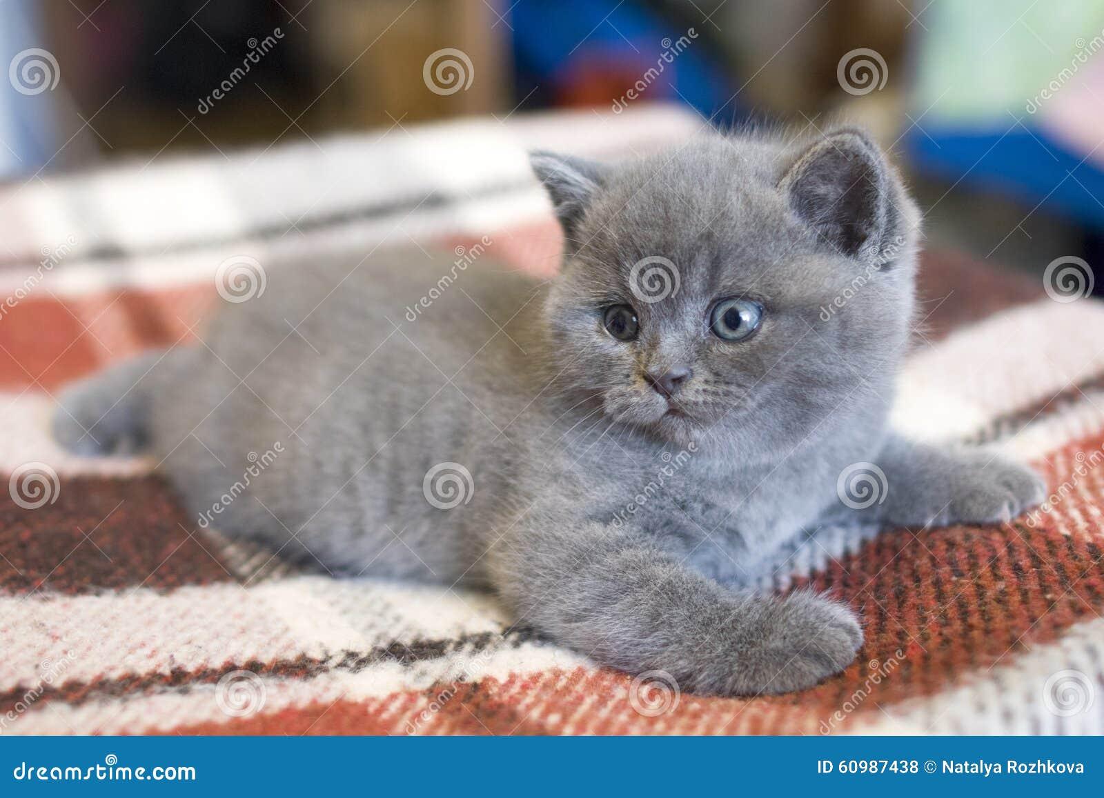 Little Cute British Kitten Stock Photo Image Of House Blue 60987438