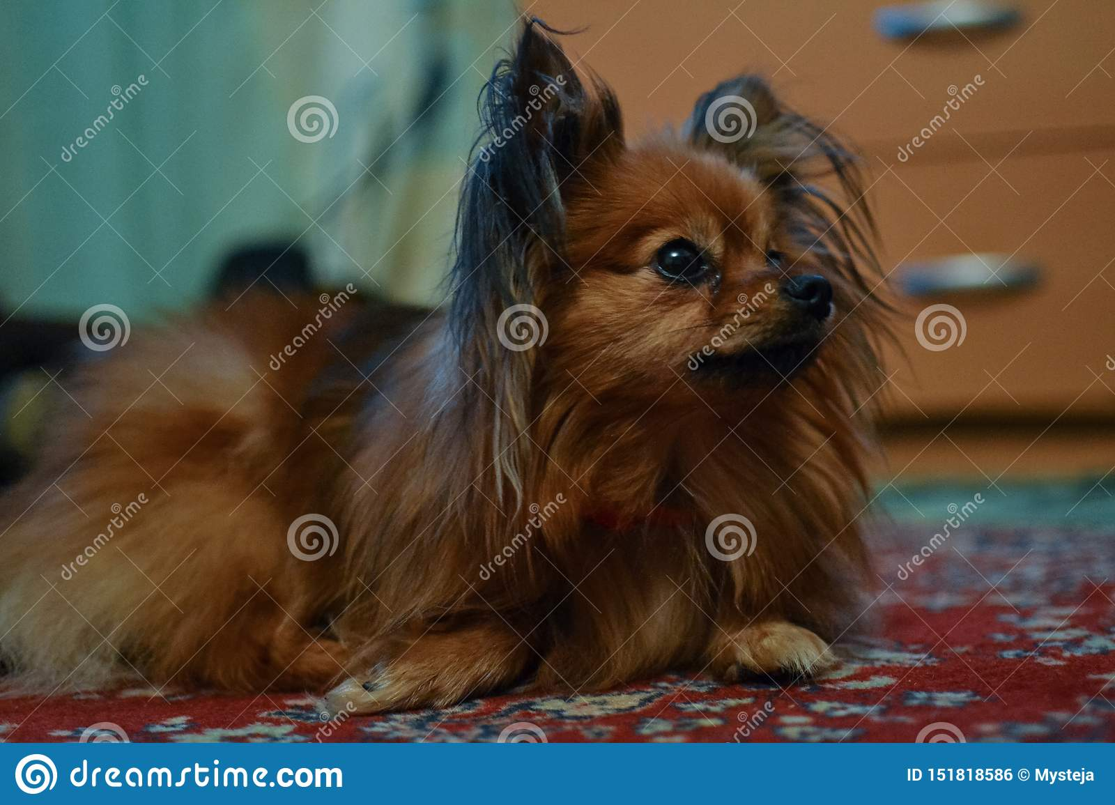 Little Cute Brown Dog With Long Hair Stock Photo Image Of