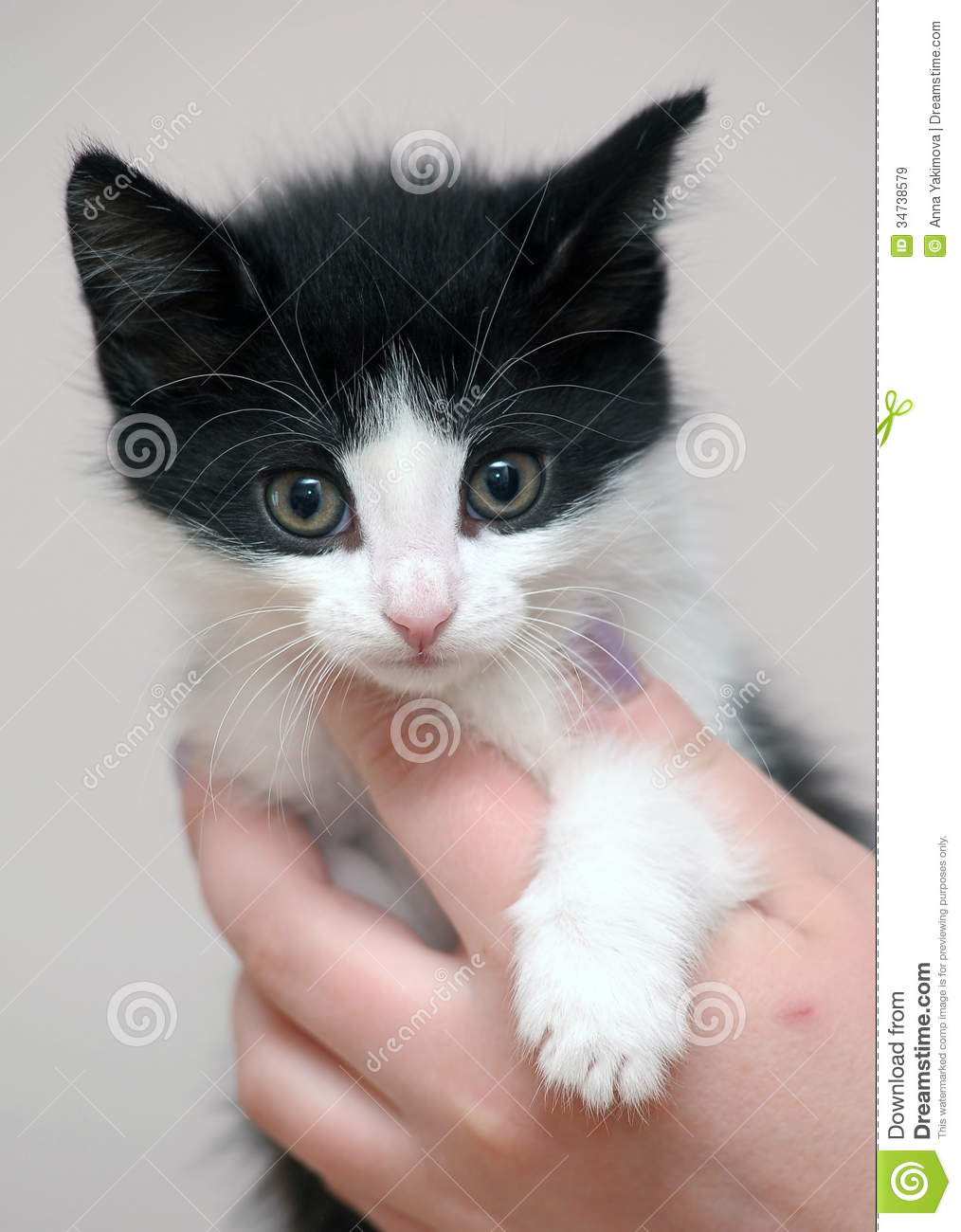 Funny black and white kitten in hands.