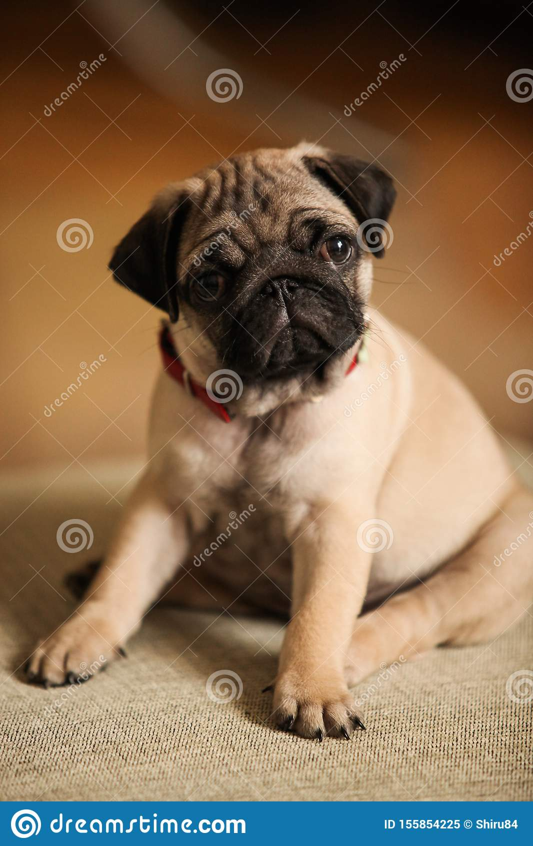Little, cute pug puppy with red collar portrait.