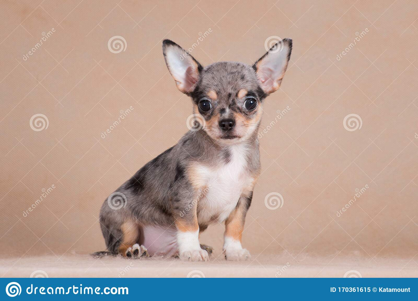Merle Chihuahua Puppy Sitting In The Studio On A Beige Background Stock Image Image Of Sitting Companion 170361615