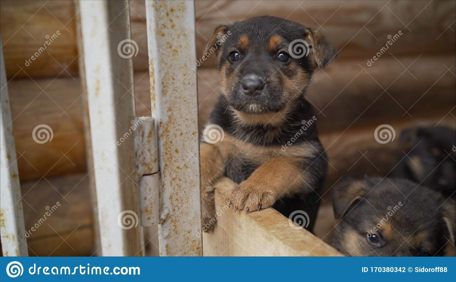 Close Up Portrait Of Puppy German Shepherd East European Shepherd Dog Shallow Focus Copy Space Little Cute Puppy Of The East Stock Photo Image Of Puppy German 170380342