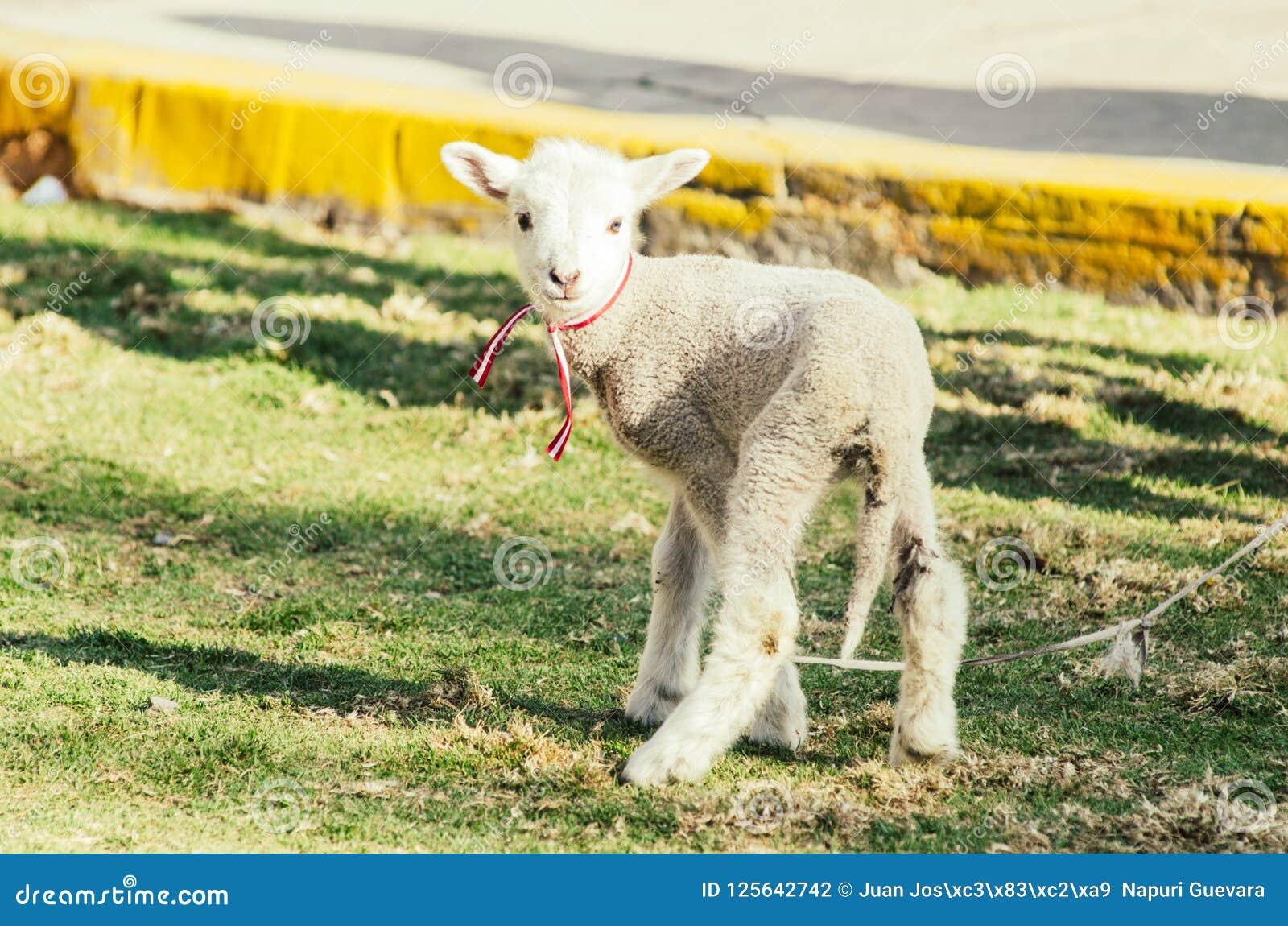 Small cute sheep gambolling in a meadow in a farm