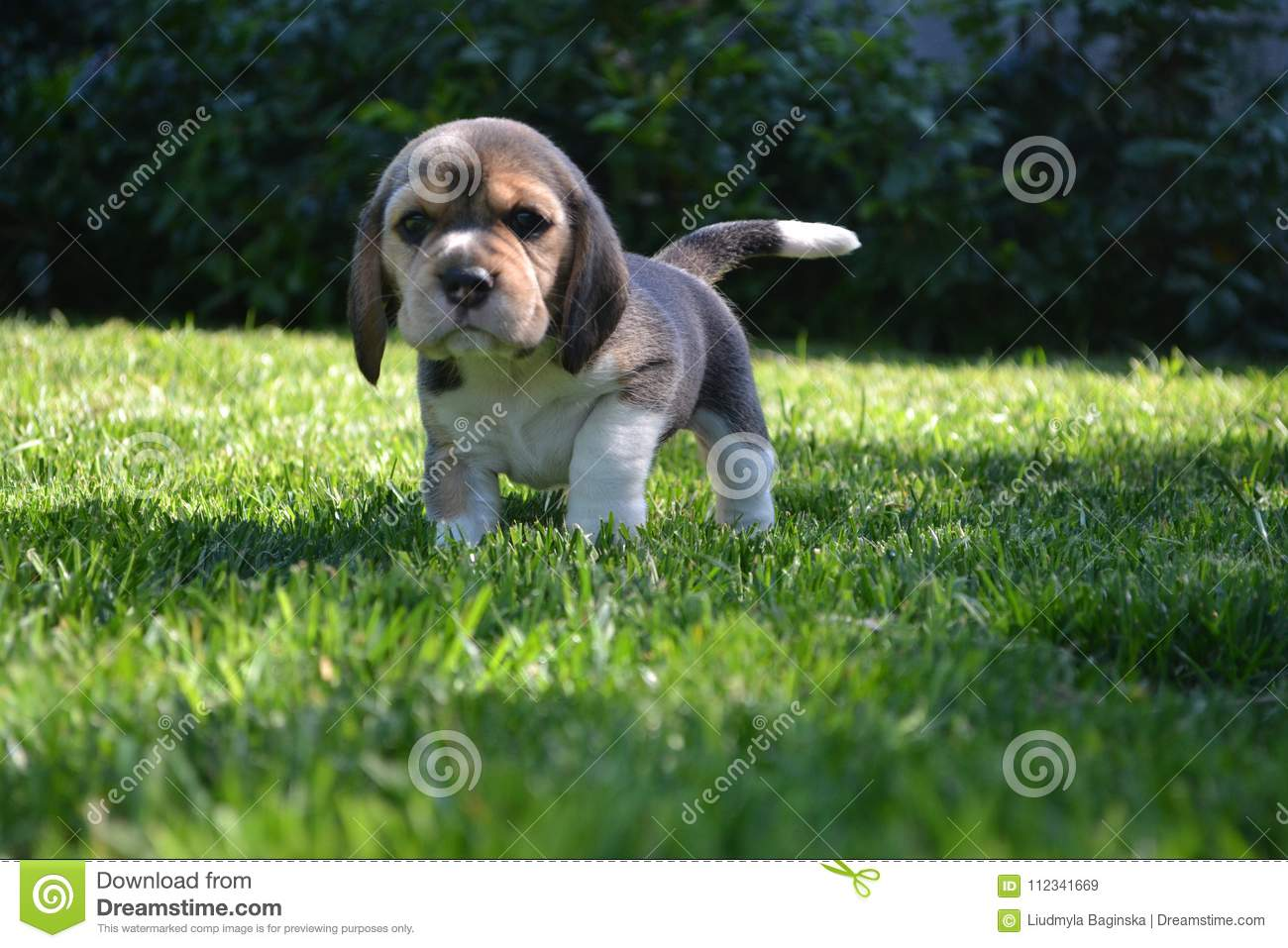 Funny Beagle Puppy On The Green Grass Stock Image Image Of Water Summer 112341669