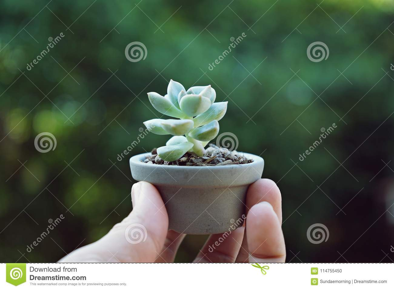 Little Cute Succulent Pot Plant Giving With Hand Under Morning Warm Light Stock Photo Image Of Houseplant Cafe 114755450