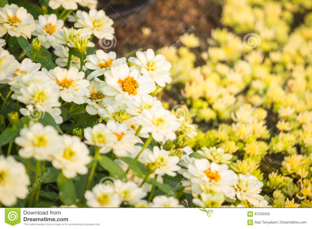 Little daisy clusters flowers of wallpaper background stock photo download little daisy clusters flowers of wallpaper background stock photo image of pretty izmirmasajfo