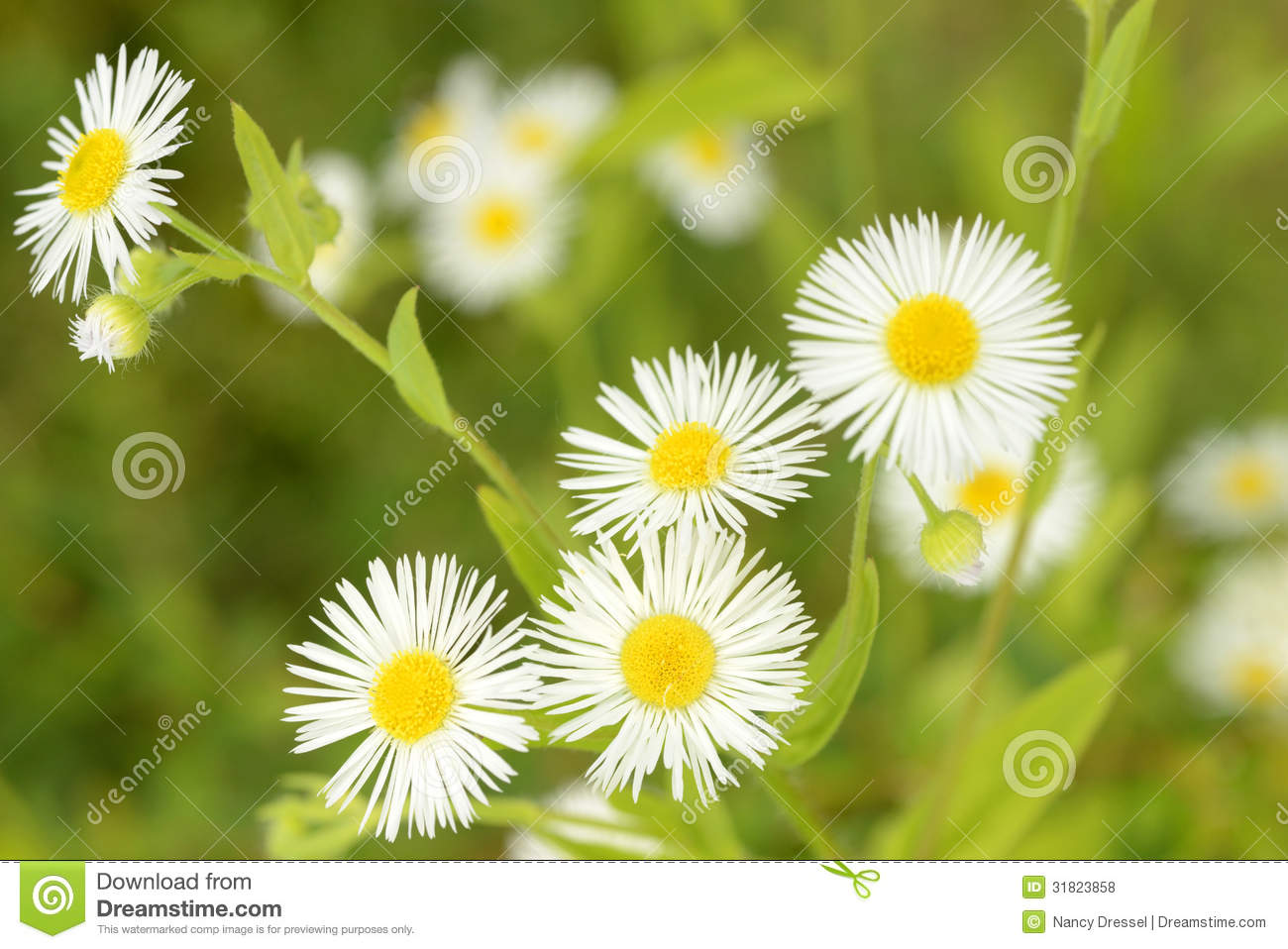 Little daisy flowers in nature stock photo image of daisy bloom little daisy flowers in nature izmirmasajfo