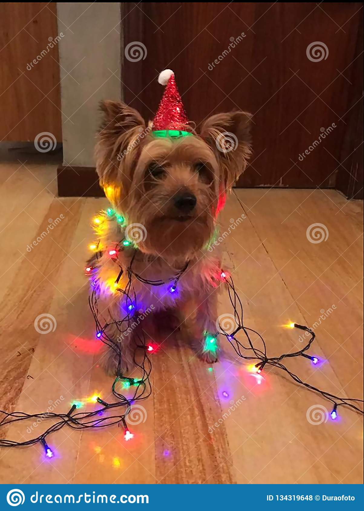 Little dog with christmas