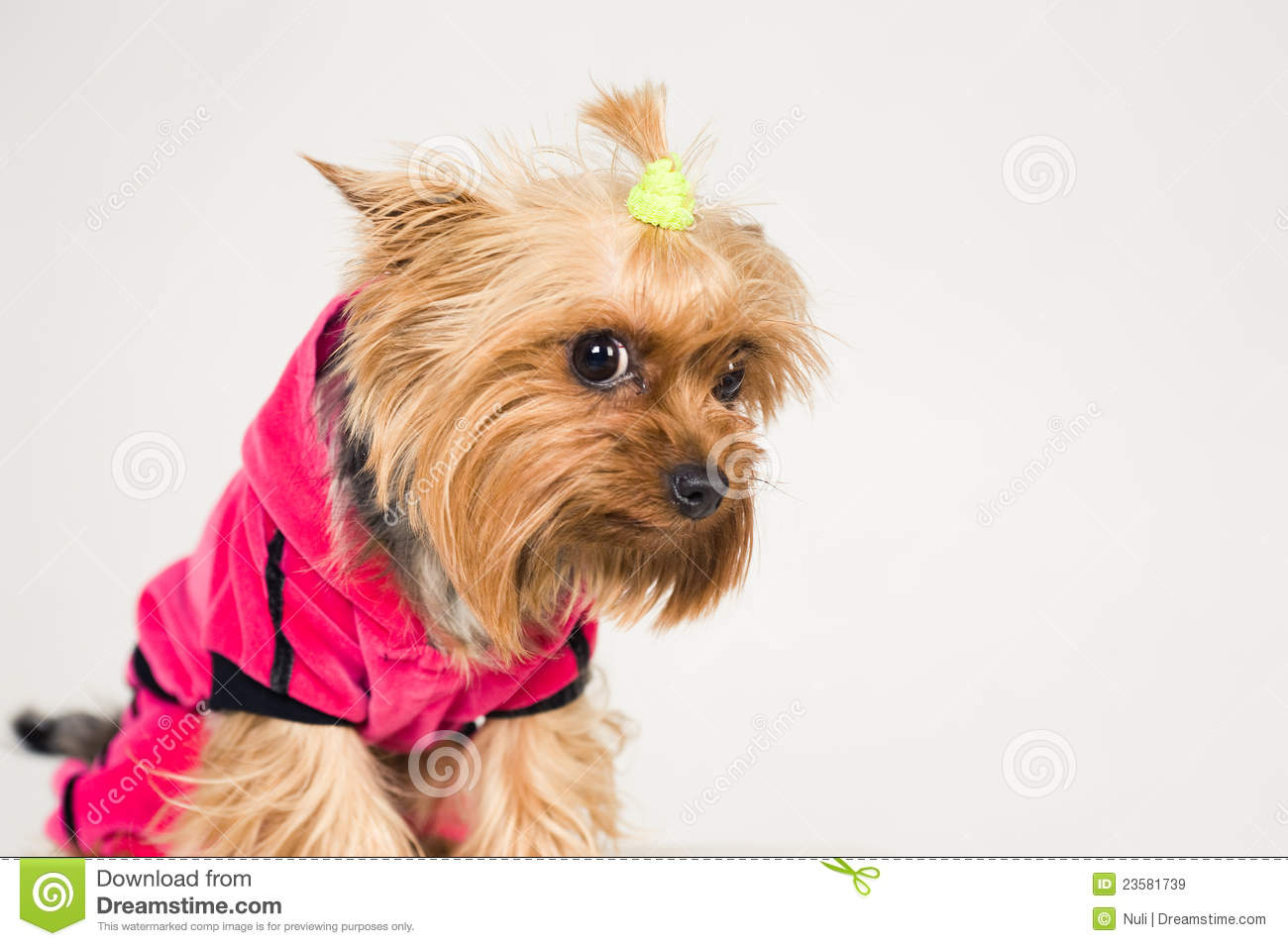 little dog looking ashamed royalty free stock images