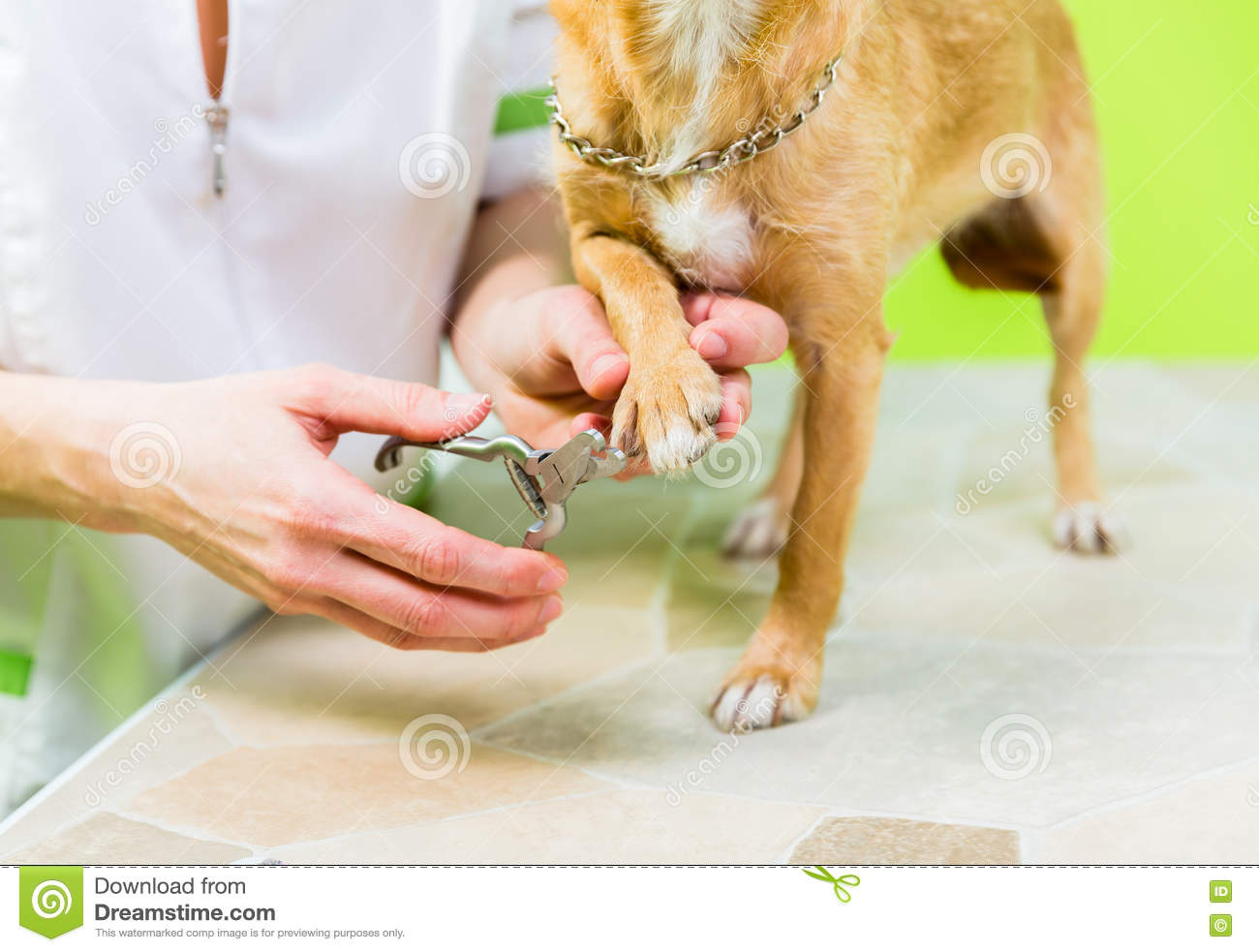 Little Dog At Manicure In Dog Grooming Salon Stock Image Image Of