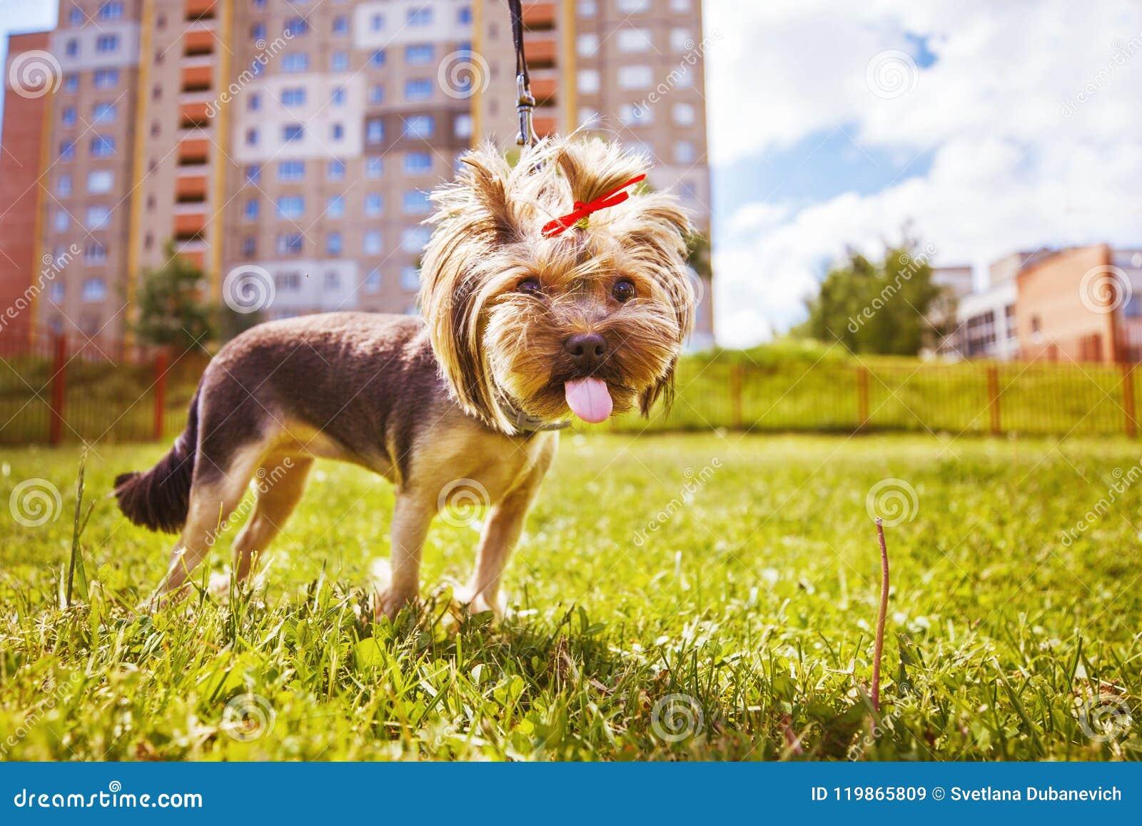 Little dog walks . a portrait of a Yorkshire terrier