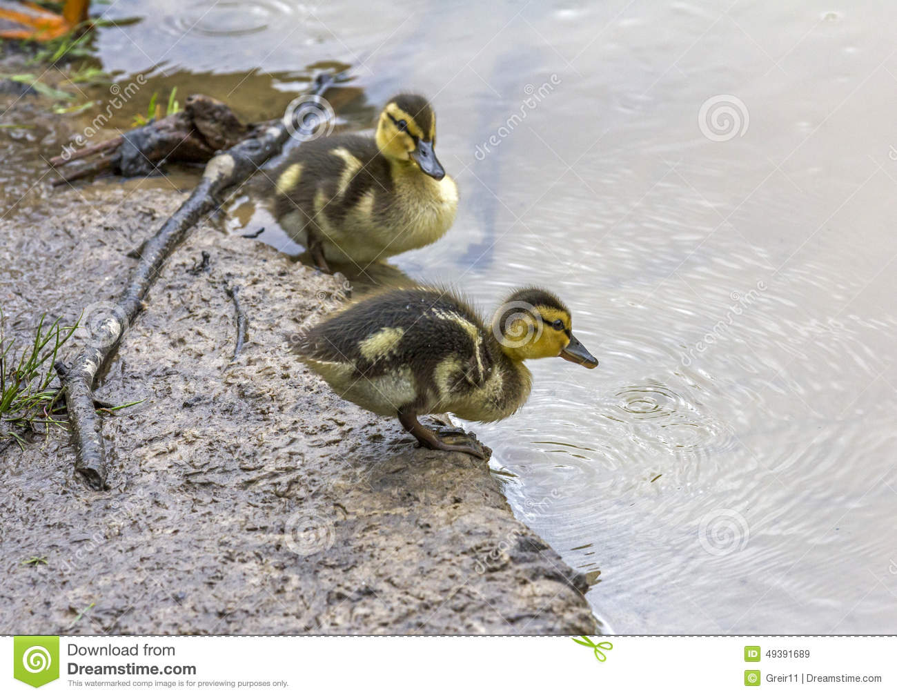Little duckling standing on shore of lake