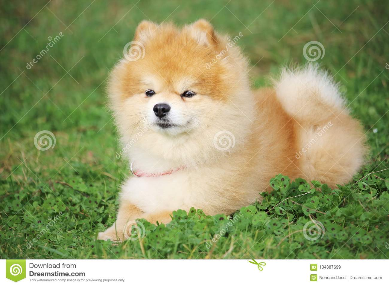 A little dwarf spitz dog is lying in the grass and listens to his distant master
