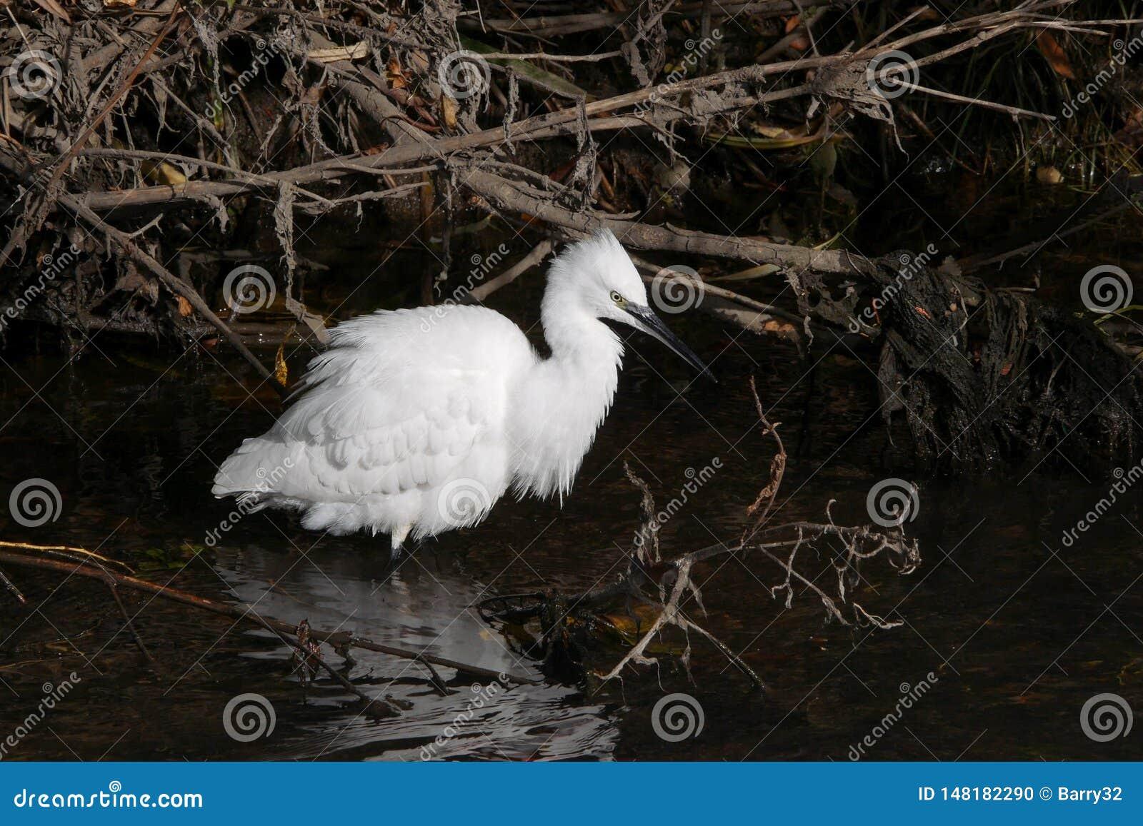 Little egret / Egretta garzetta wading in river with white plumage splayed out
