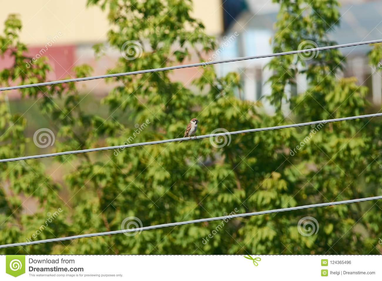 Little Eurasian Tree Sparrow Sitting On A Thick Electrical Wire