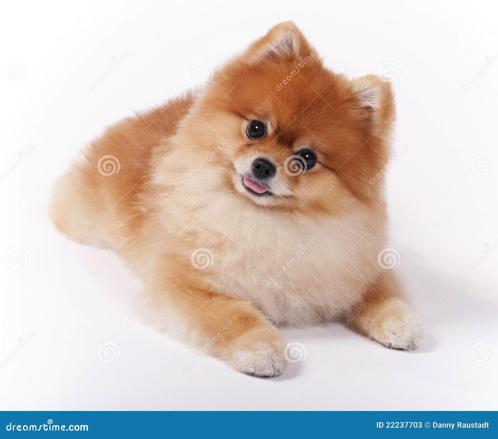 Little Female Pomeranian Pet Show Dog