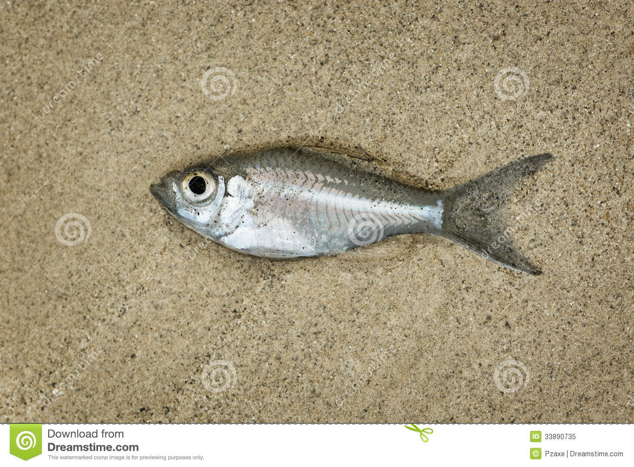 Little fish drying on the sand beach royalty free stock for Where to fish