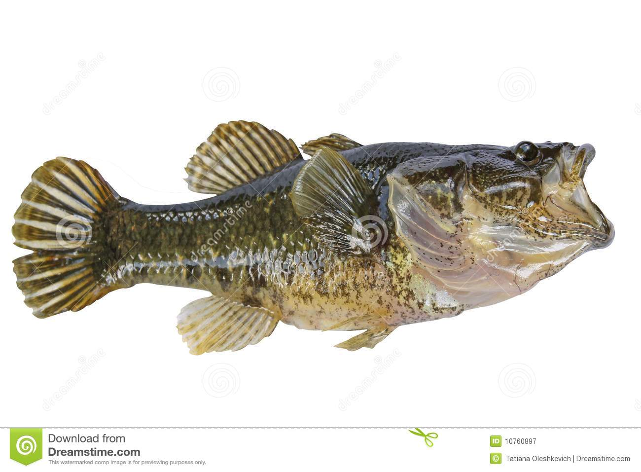Little Fish With Opened Mouth Isolate Royalty Free Stock