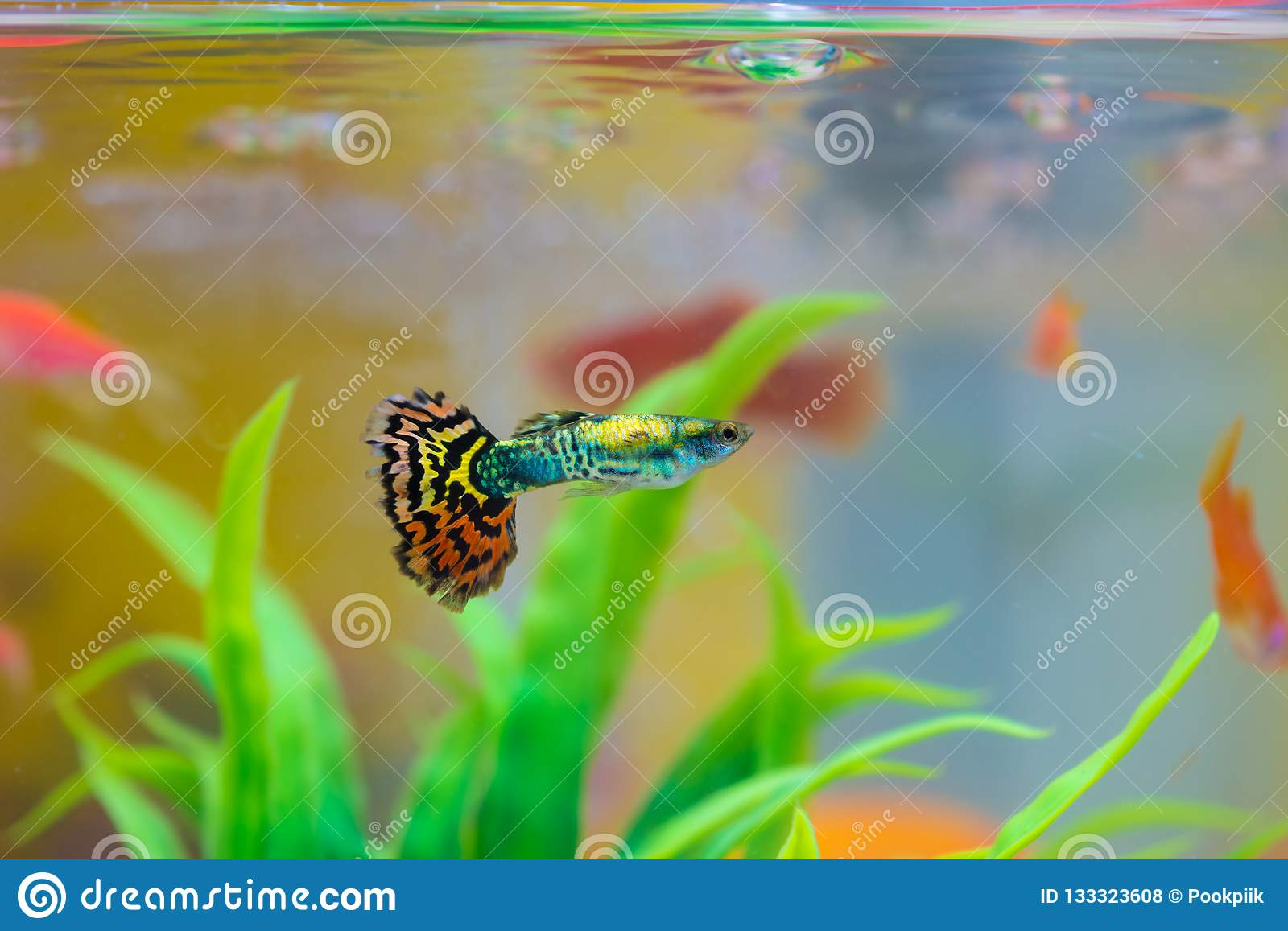 Little fish in fish tank or aquarium, gold fish, guppy and red f