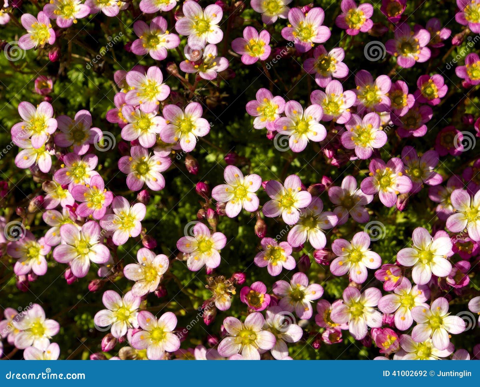 Spring summer little five petals pink flowers stock photo image little five petals pink flowers stock photo image of cheerful mightylinksfo