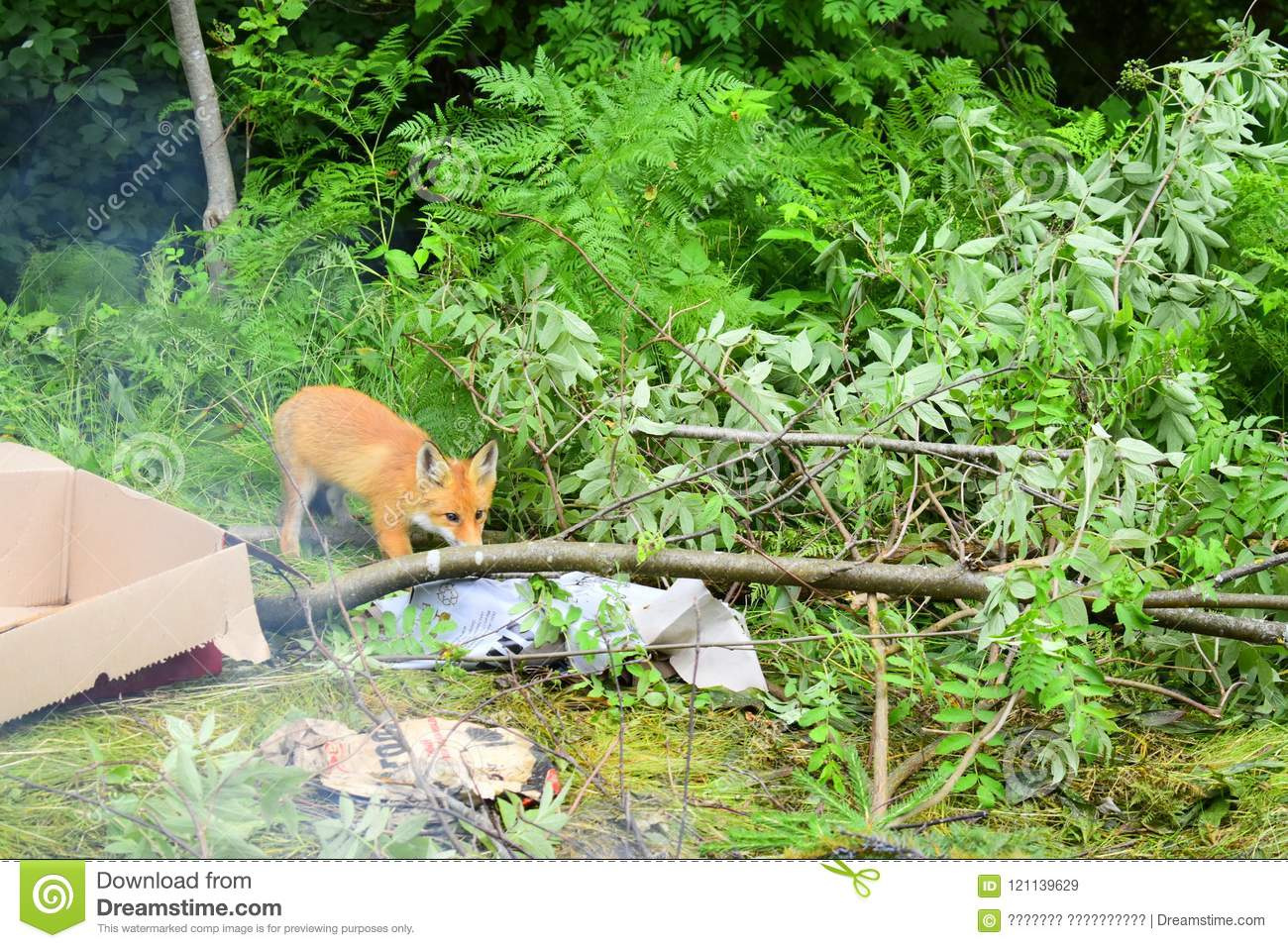 Little Fox is hunting for food in the forest
