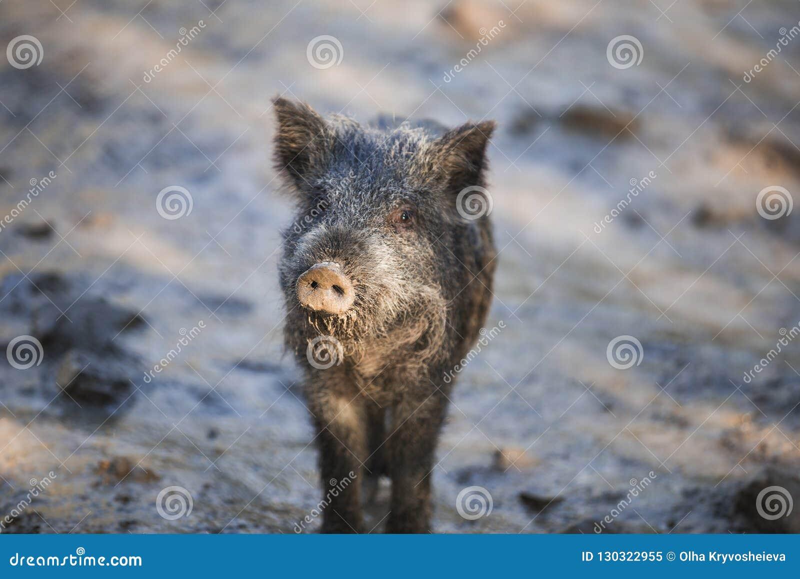 Little funny black wild boar piglet