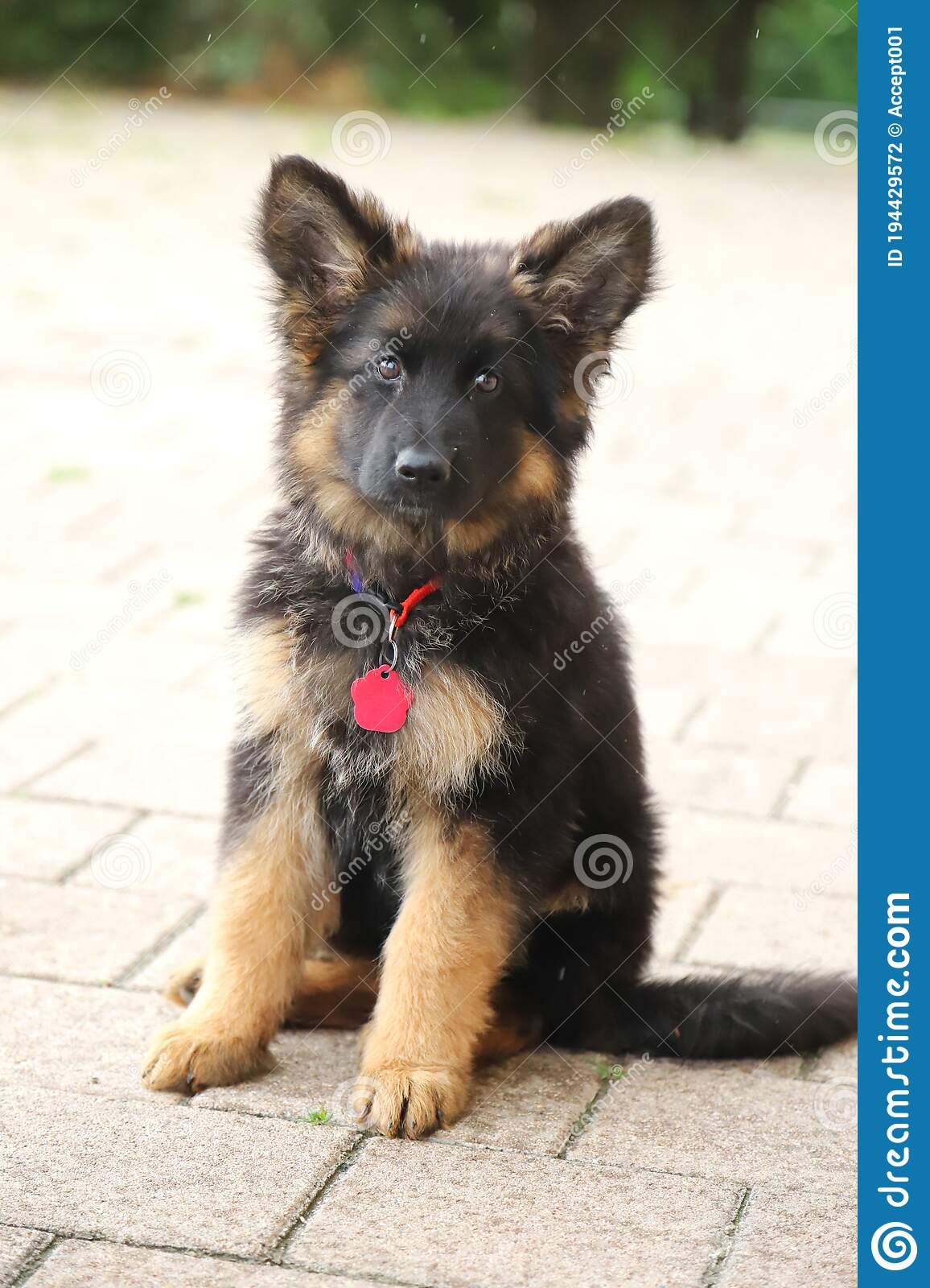 Little German Shepherd Pup With Black Mask And Black And Tan Long Hair Sitting Stock Photo Image Of Cute Club 194429572