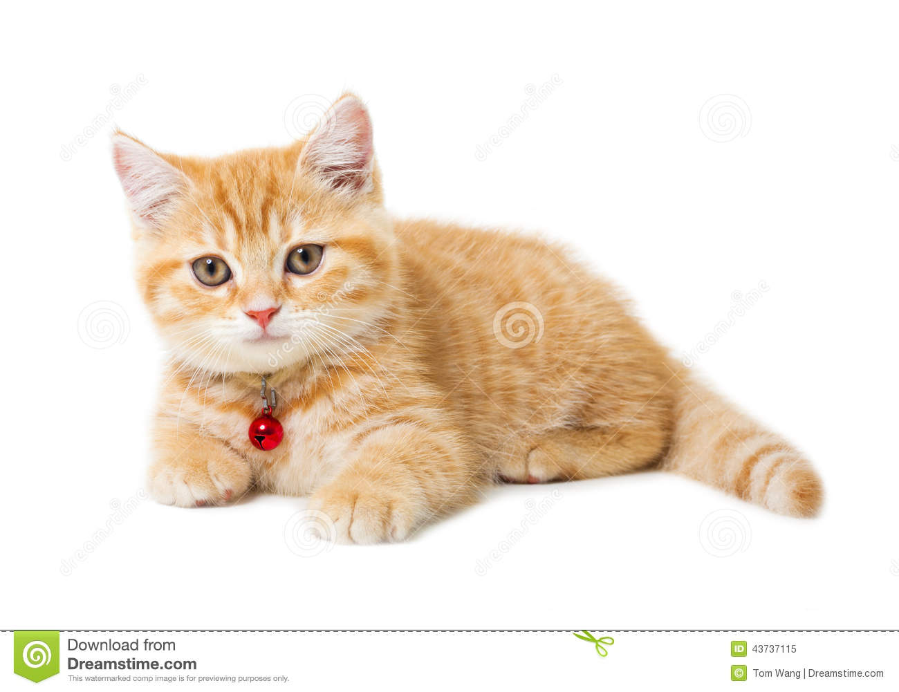 Little Ginger British Shorthair Cats Over White Background Stock Photo