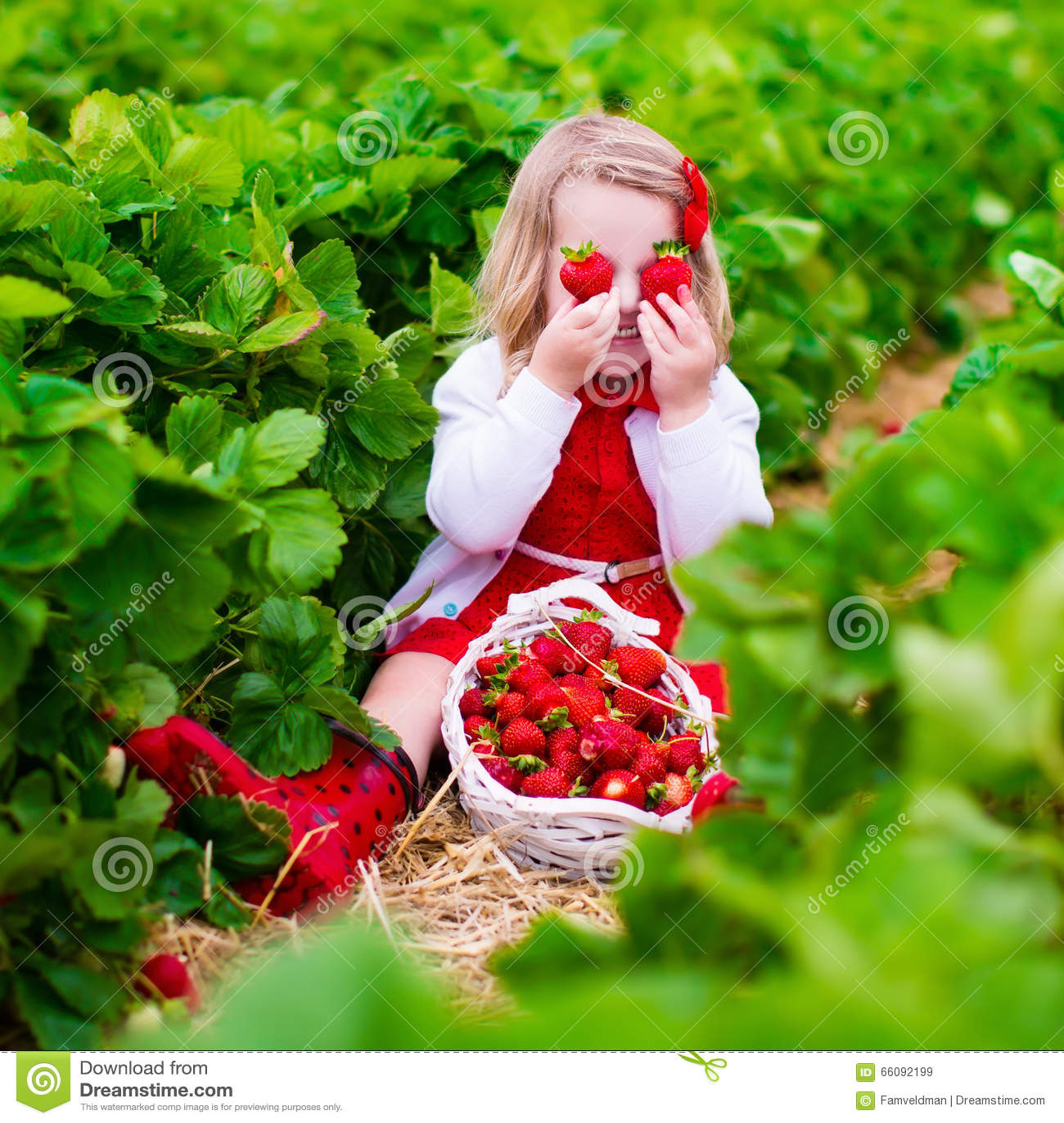 strawberry picking cartoon vector cartoondealer