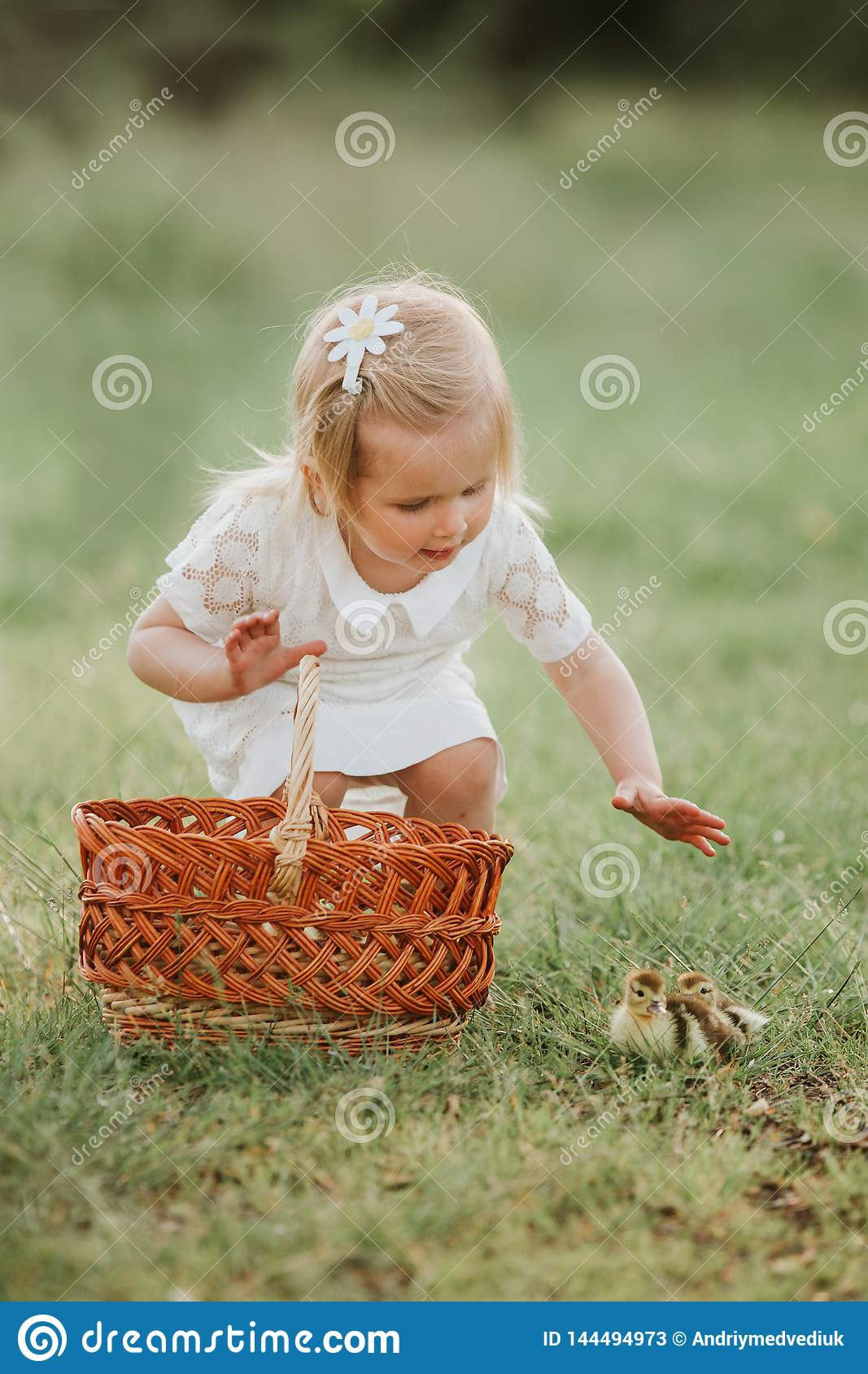 Little girl playing with ducklings. girls at sunset with lovely ducklings. The concept of children with animals