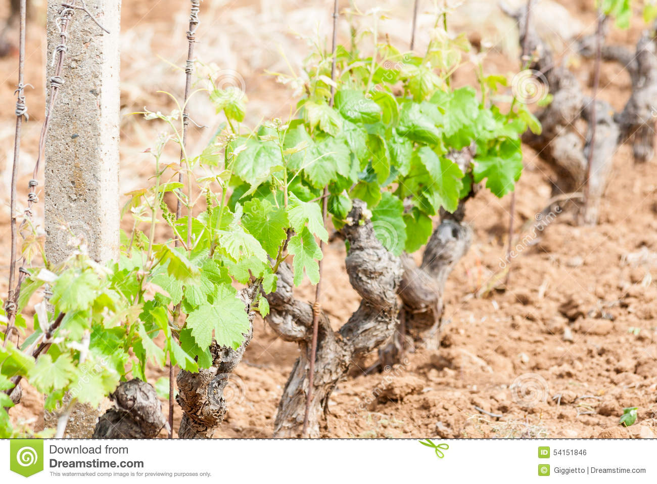 how to grow grapevine trees
