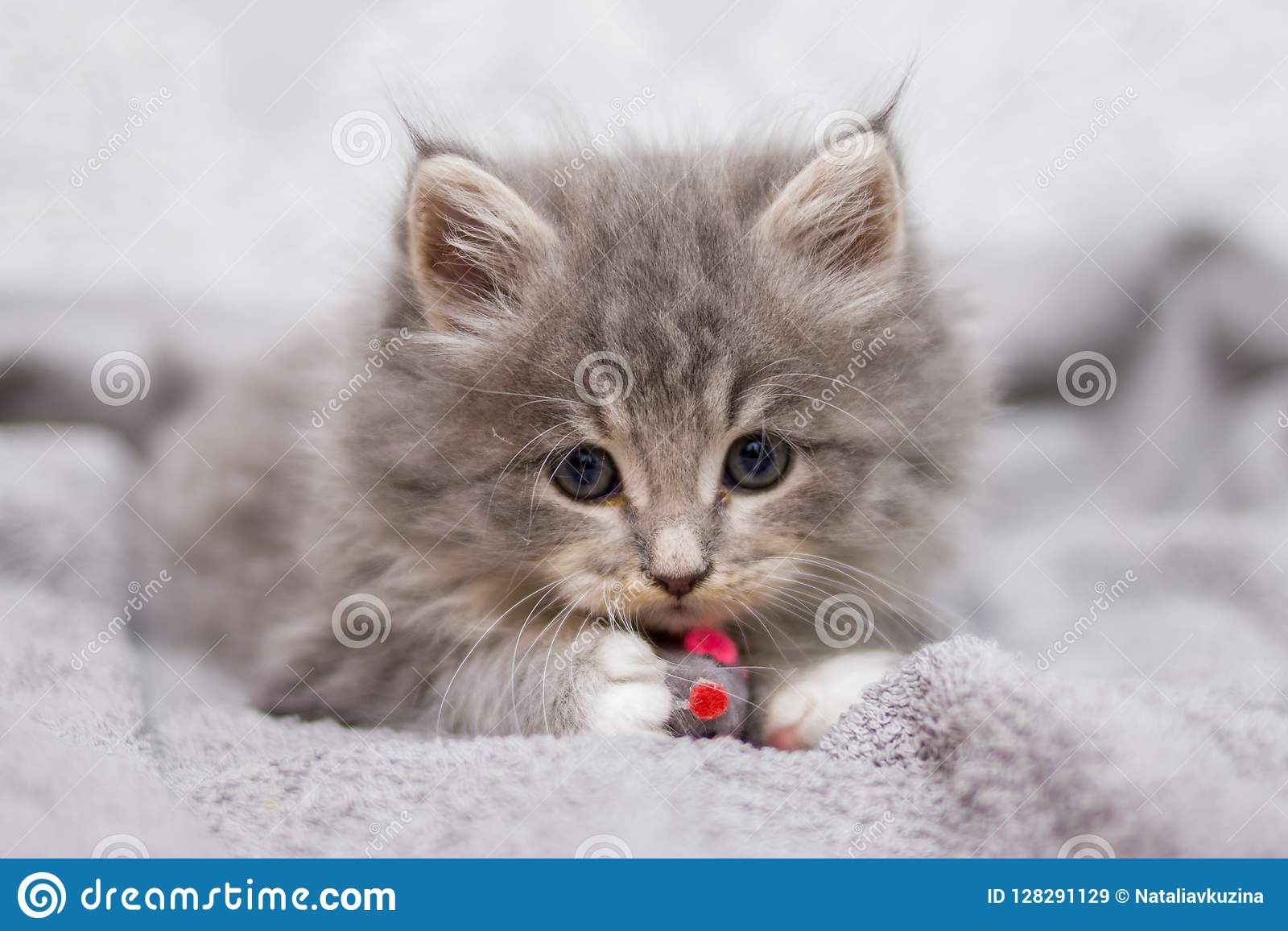 Little gray fluffy kitten maine coon looking at camera. Kid animals and cats concept