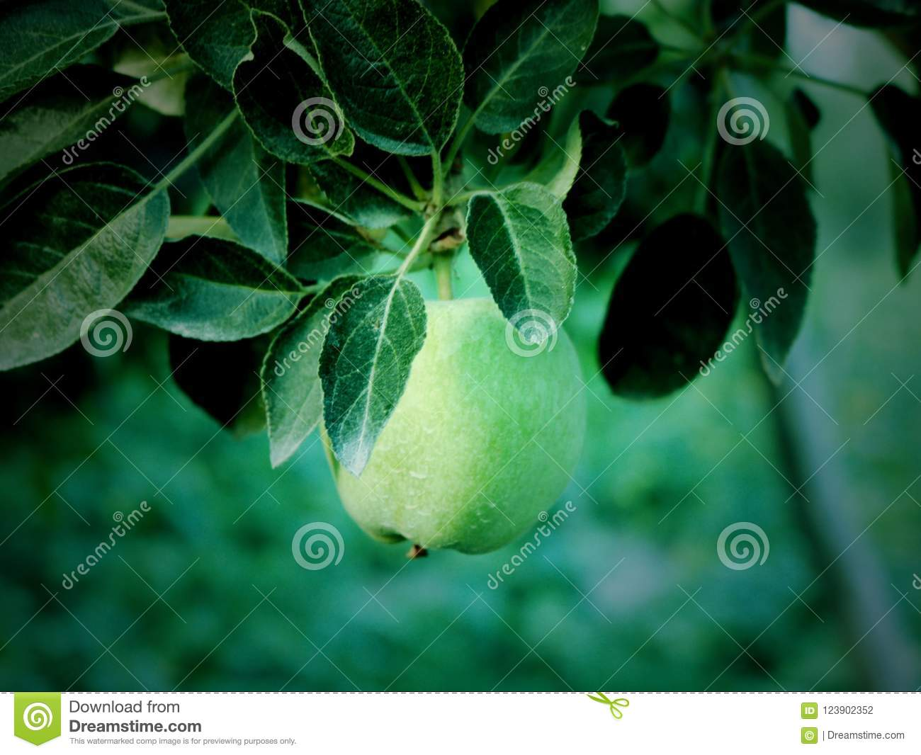Little Green Apples In Kashmir Valley India