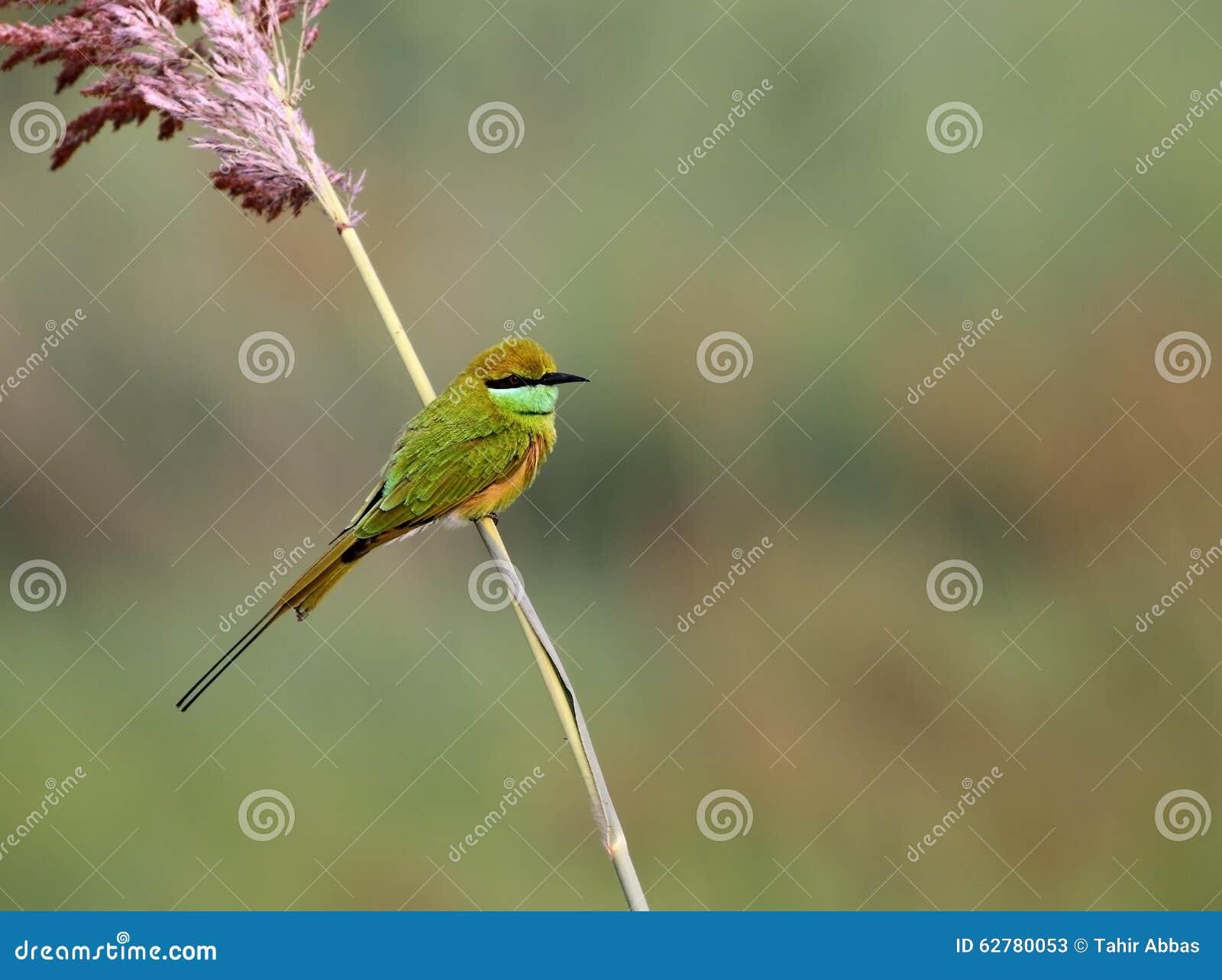 little green bee eater stock photo image 62780053. Black Bedroom Furniture Sets. Home Design Ideas
