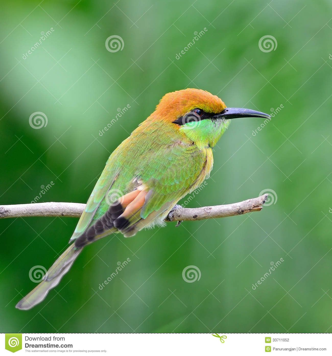 little green bee eater stock photography image 33711052. Black Bedroom Furniture Sets. Home Design Ideas