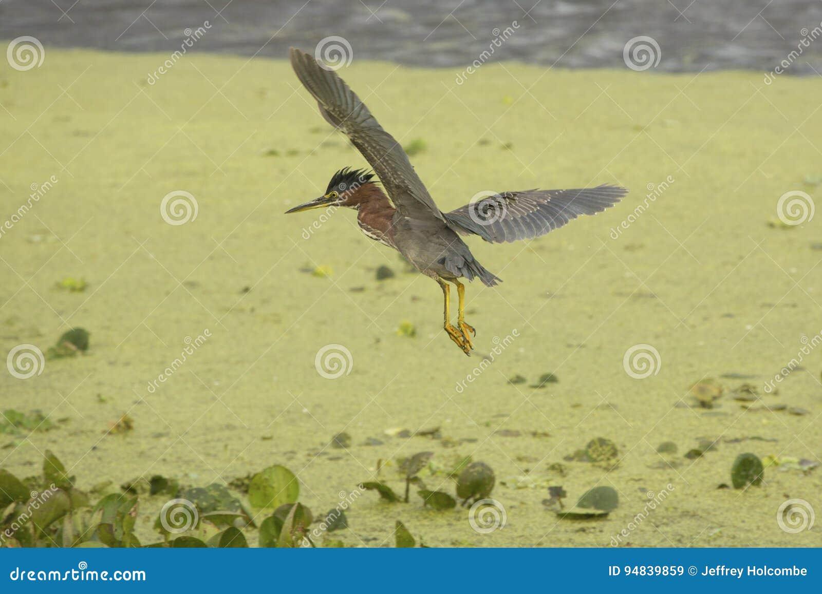 Little green heron flying over swamp vegetation in Florida.