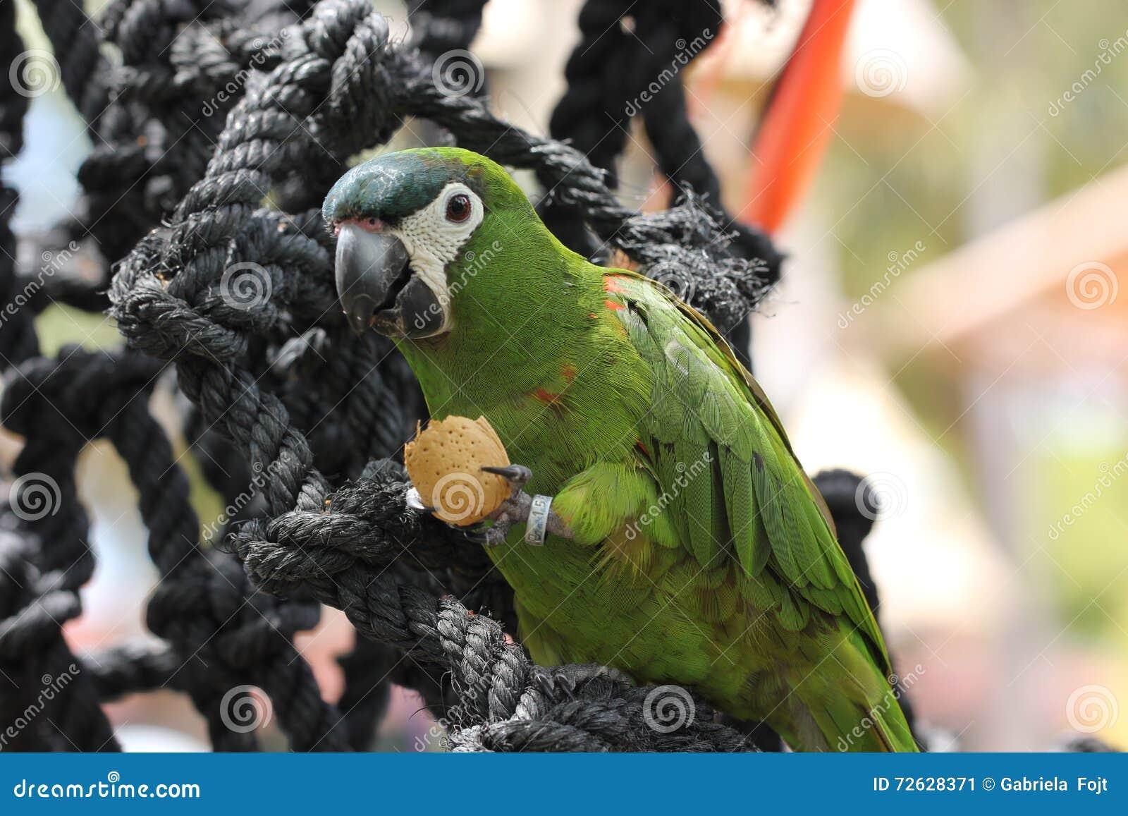 little green parrot stock photo image 72628371. Black Bedroom Furniture Sets. Home Design Ideas