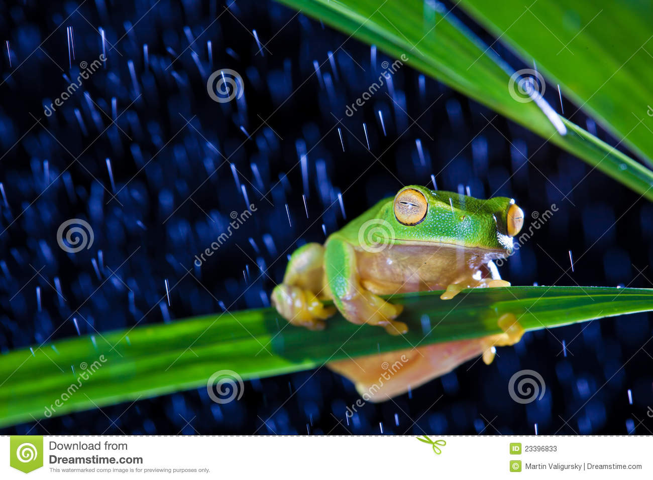 Little green tree frog sitting on green leaf stock photos image