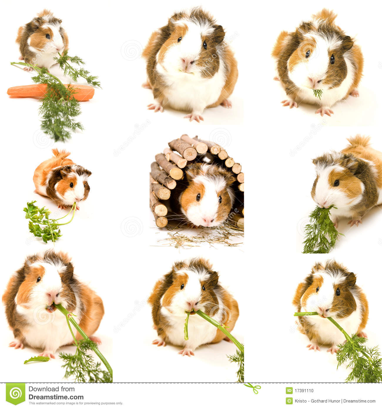 Little Guinea Pig Stock Photo. Image Of Carrot, Nose