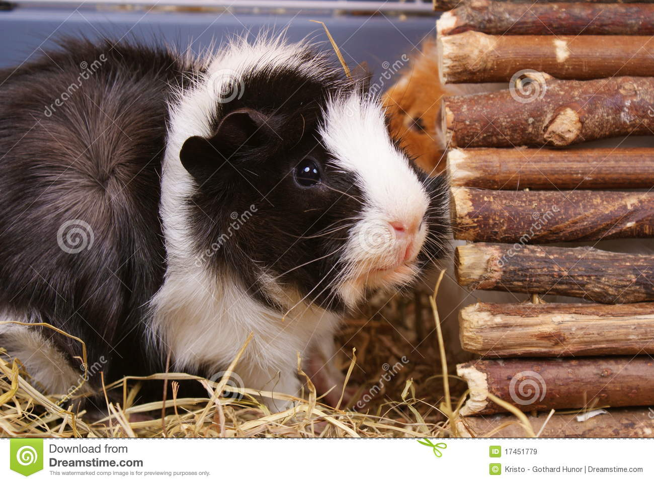 Little guinea pig royalty free stock images image 17451779 for Guinea pig pictures free