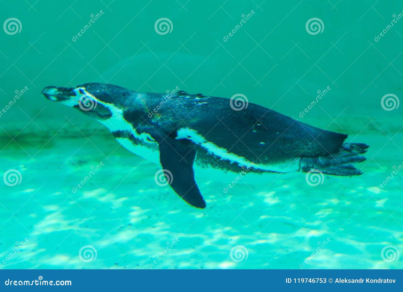 The little gumboldt penguin floats alone