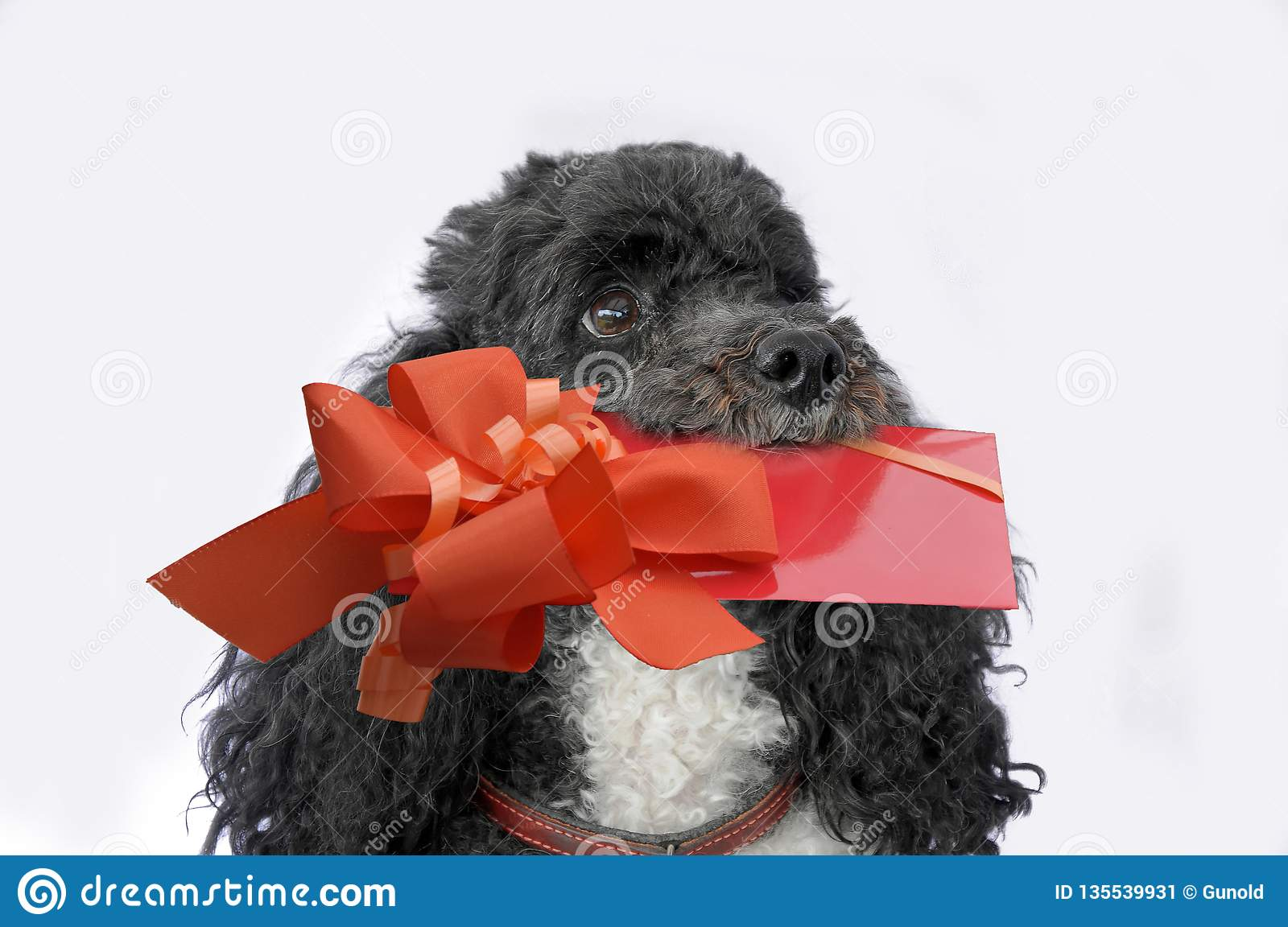 Little harlequin poodle with gift in his snout