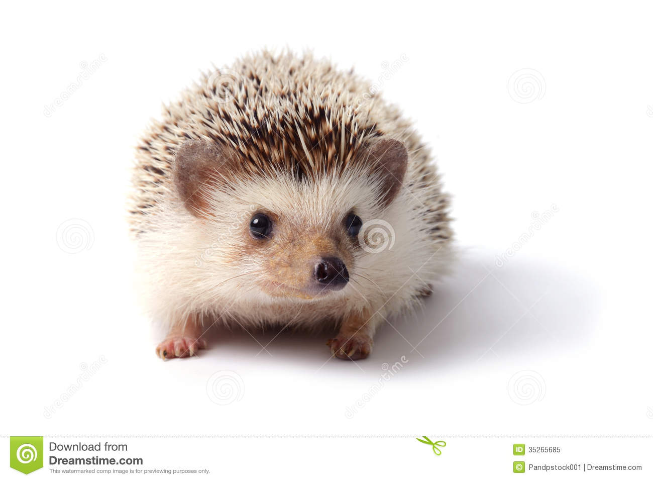 little hedgehog royalty free stock photo image 35265685