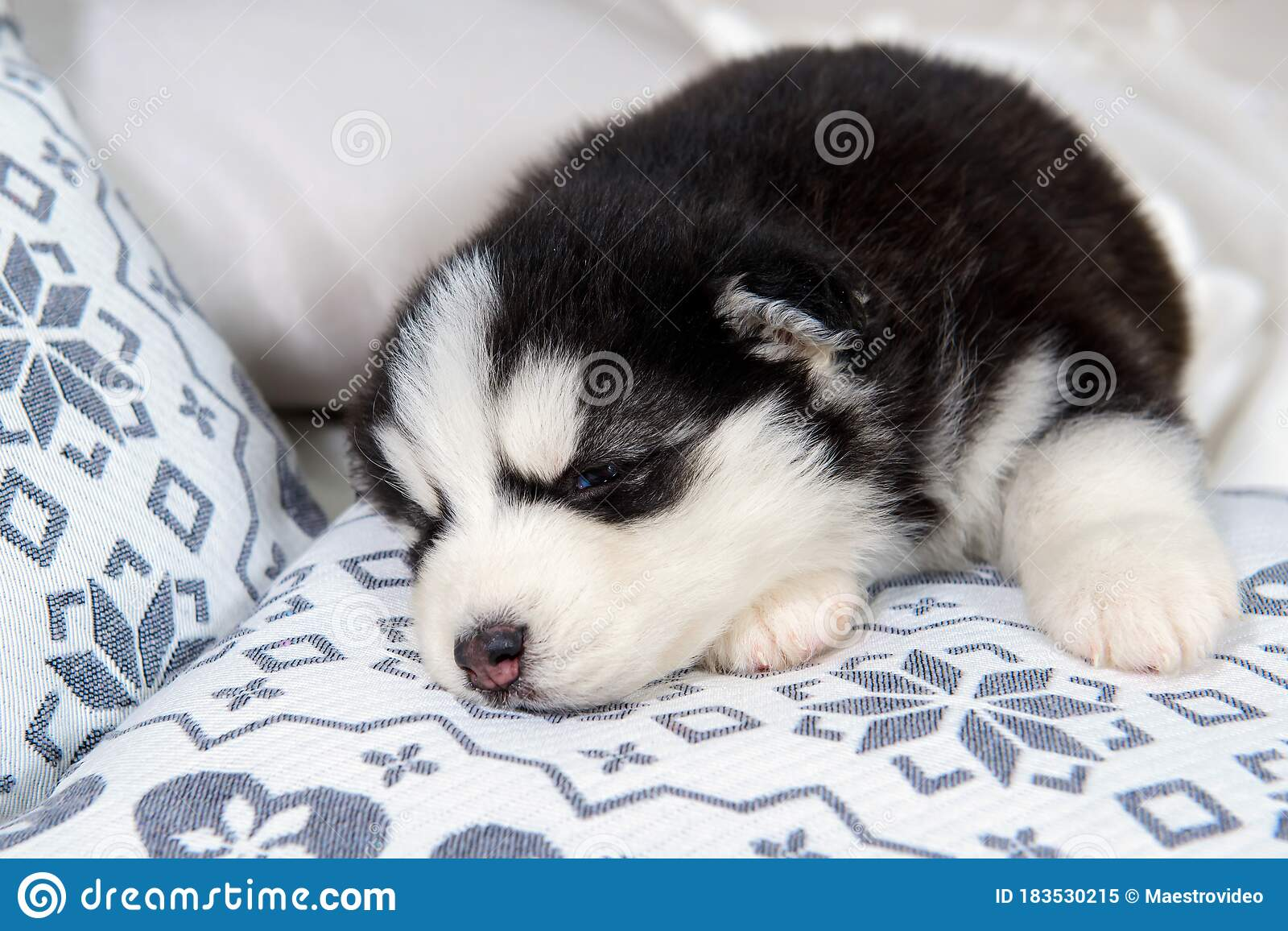 Little Husky Puppy Stock Image Image Of Blue Happy 183530215