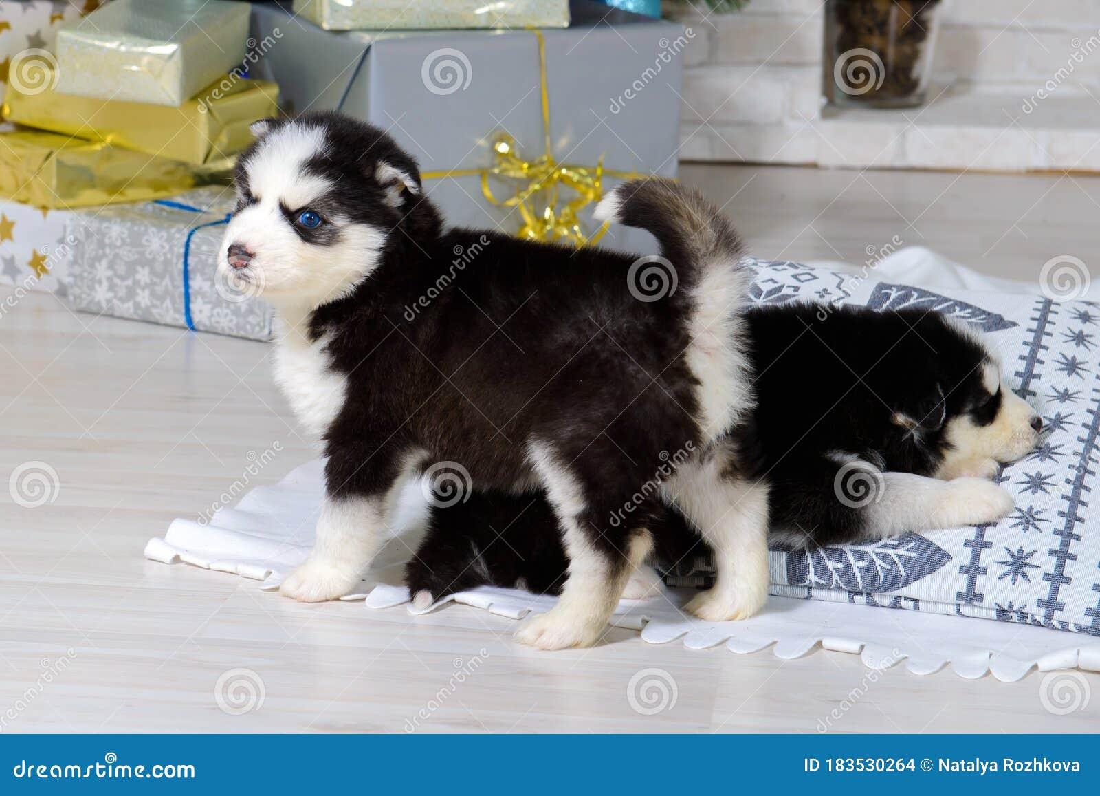Little Husky Puppy Stock Photo Image Of Blue Portrait 183530264