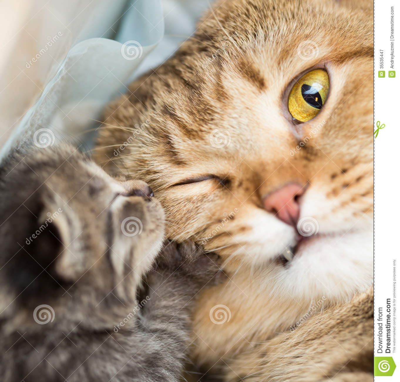 Little Tabby Kitten With Mother Cat Royalty Free Stock graphy