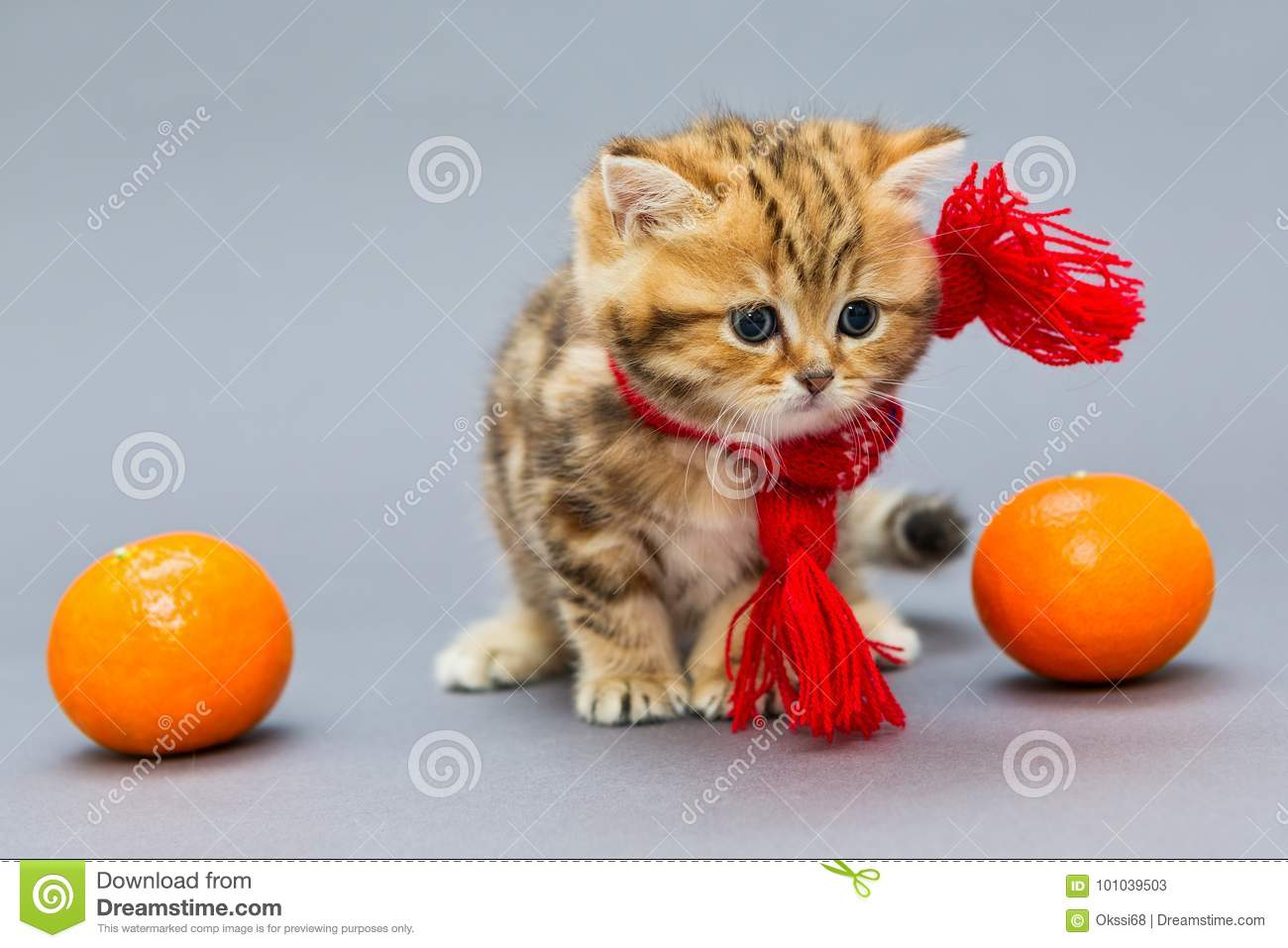 Little Kitten British Marble In A Red Scarf And Tangerine