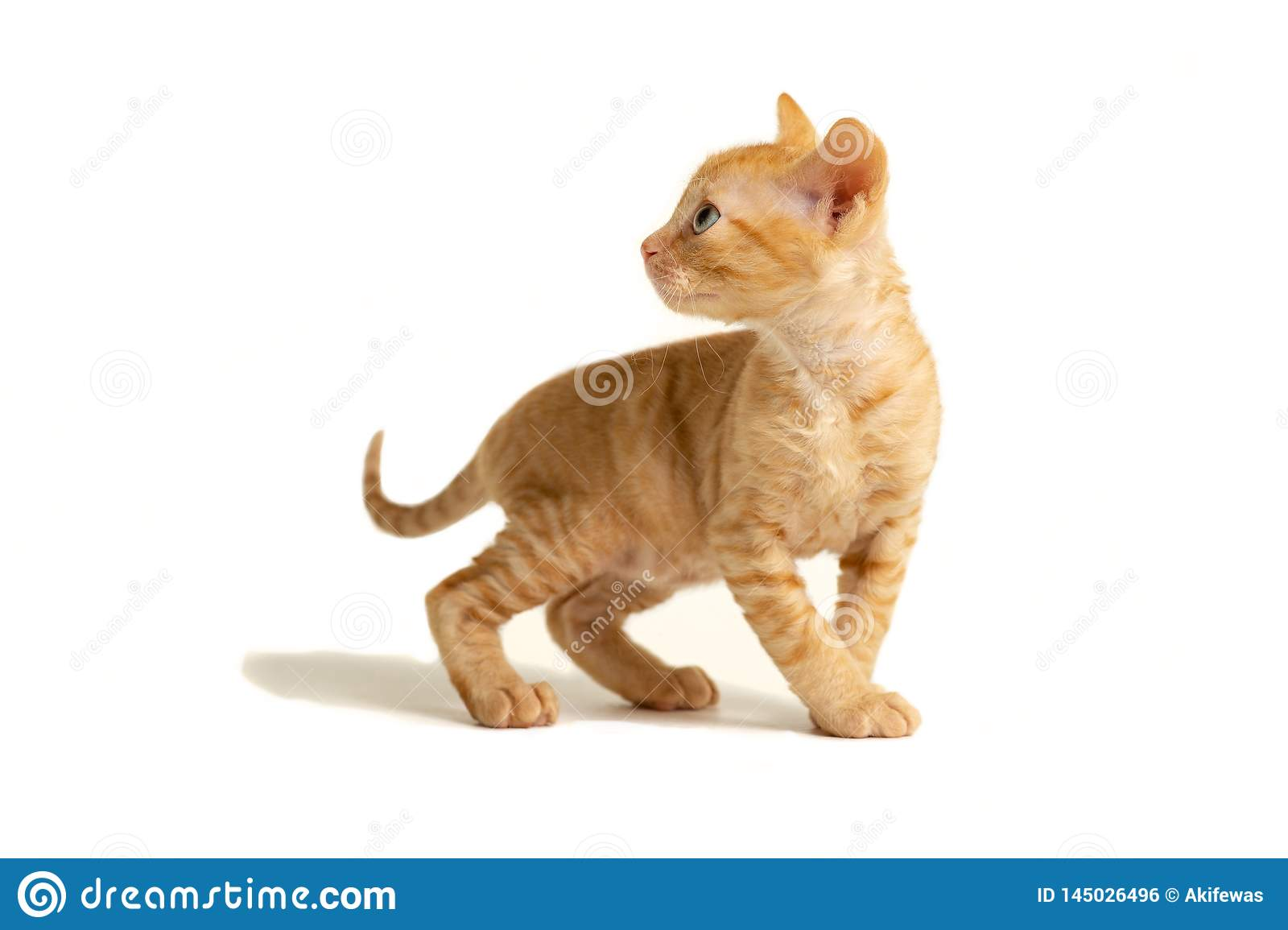 Little kitten Ural Rex stands and looks back, isolated on a white background