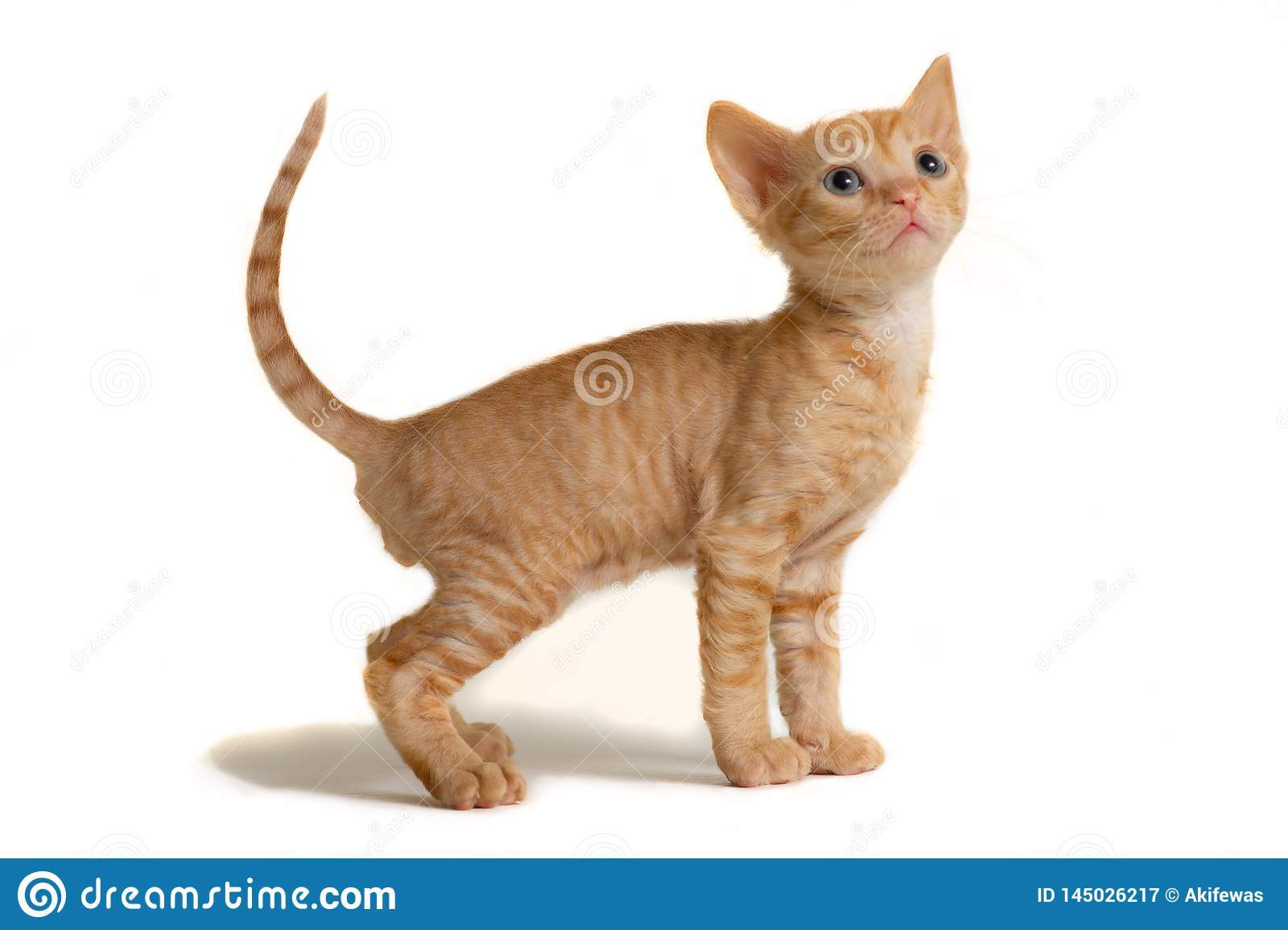 Little kitten Ural Rex stands and looks up, isolated on a white background